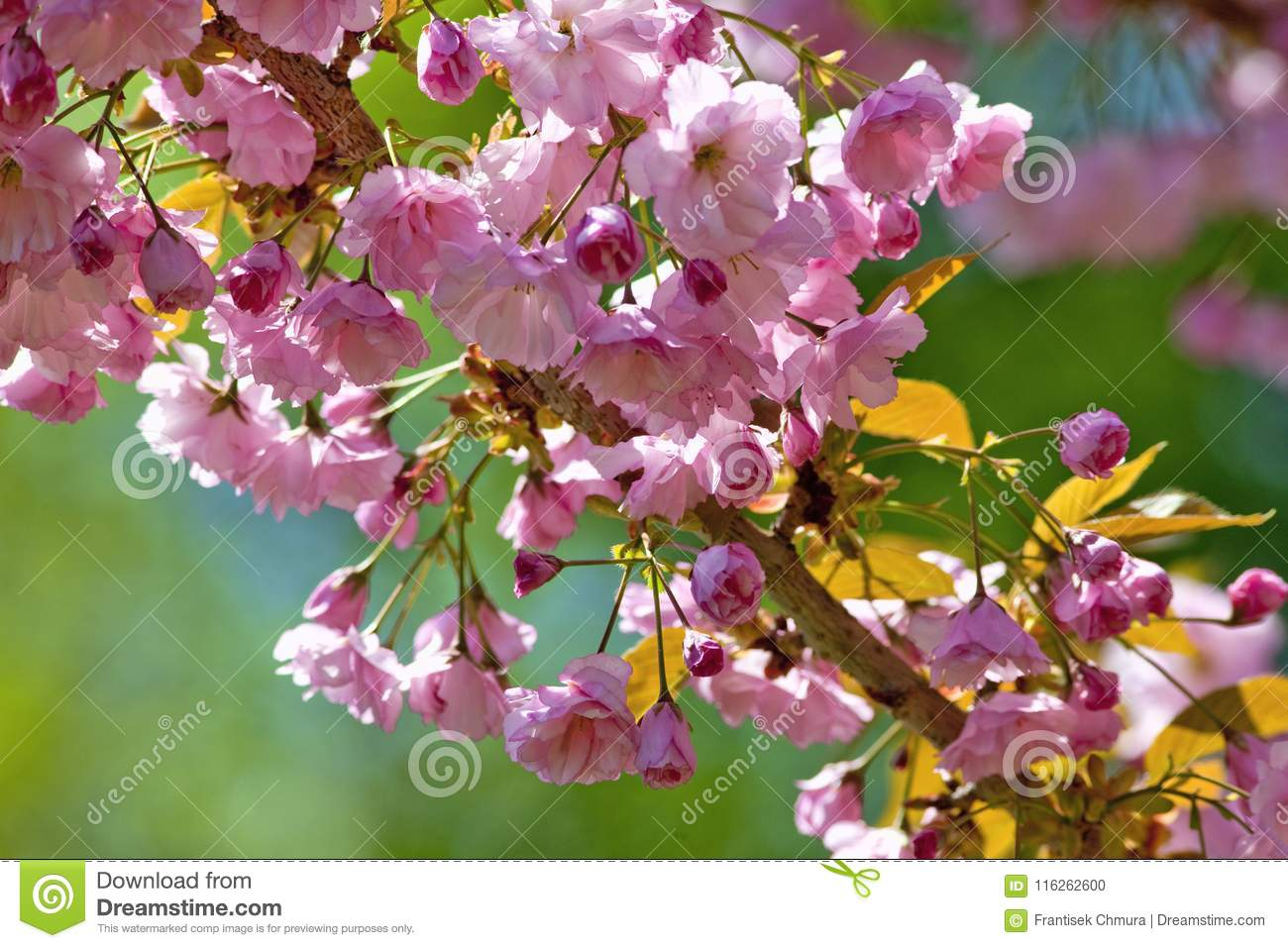 Detail Of Japanese Pink Cherry Blossom Sakura Tree Stock Photo