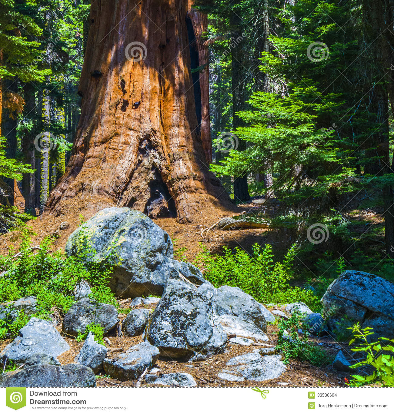 Landscaping With Redwood Trees : Park with old huge sequoia trees like redwoods in beautiful landscape
