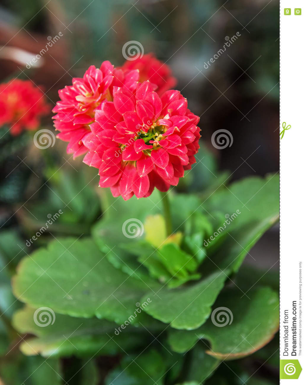 Detail photo of red dahlia flower beauty in nature stock photo detail photo of red dahlia flower beauty in nature izmirmasajfo