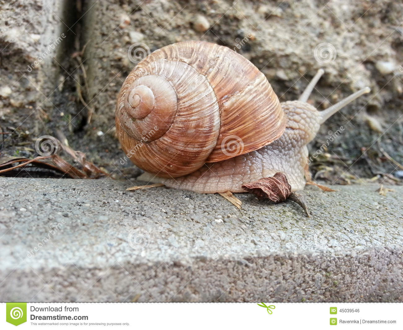 Download Detail photo of a snail stock photo. Image of road, outdoor - 45039546