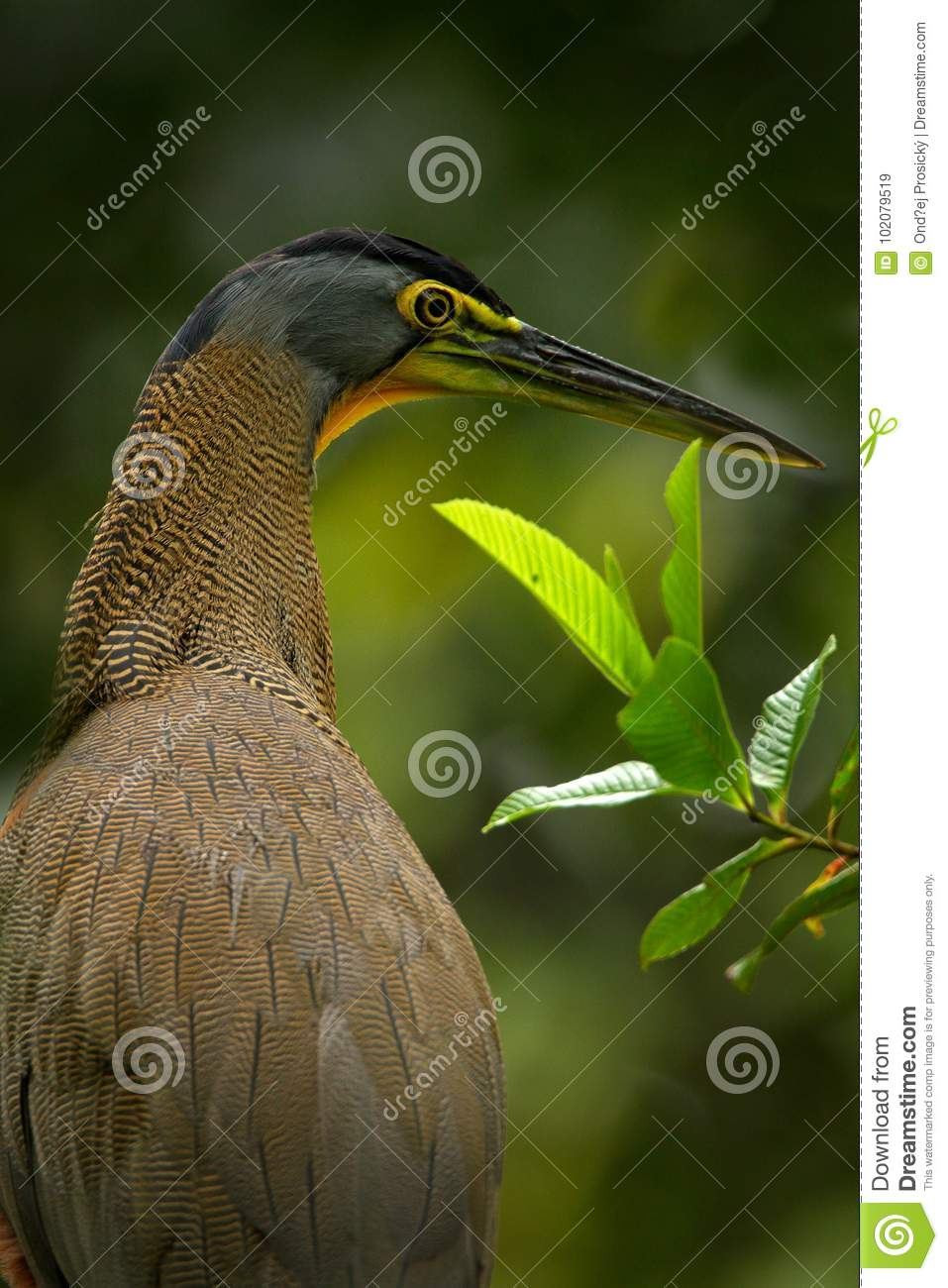 Detail portrait of beautiful heron. Bare-throated Tiger-Heron, Tigrisoma mexicanum, in nature green vegetation. Action wildlife sc