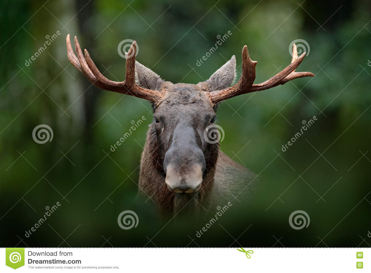 Detail portrait of elk, moose. Moose, North America, or Eurasian elk, Eurasia, Alces alces in the dark forest during rainy day. Be