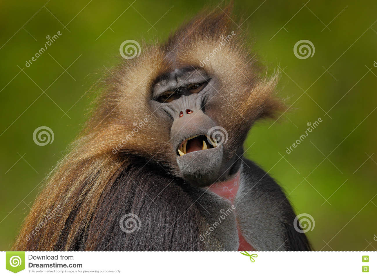 Detail portrait of monkey. Portrait of Gelada Baboon with open muzzle with tooths. Portrait of monkey from African mountain.
