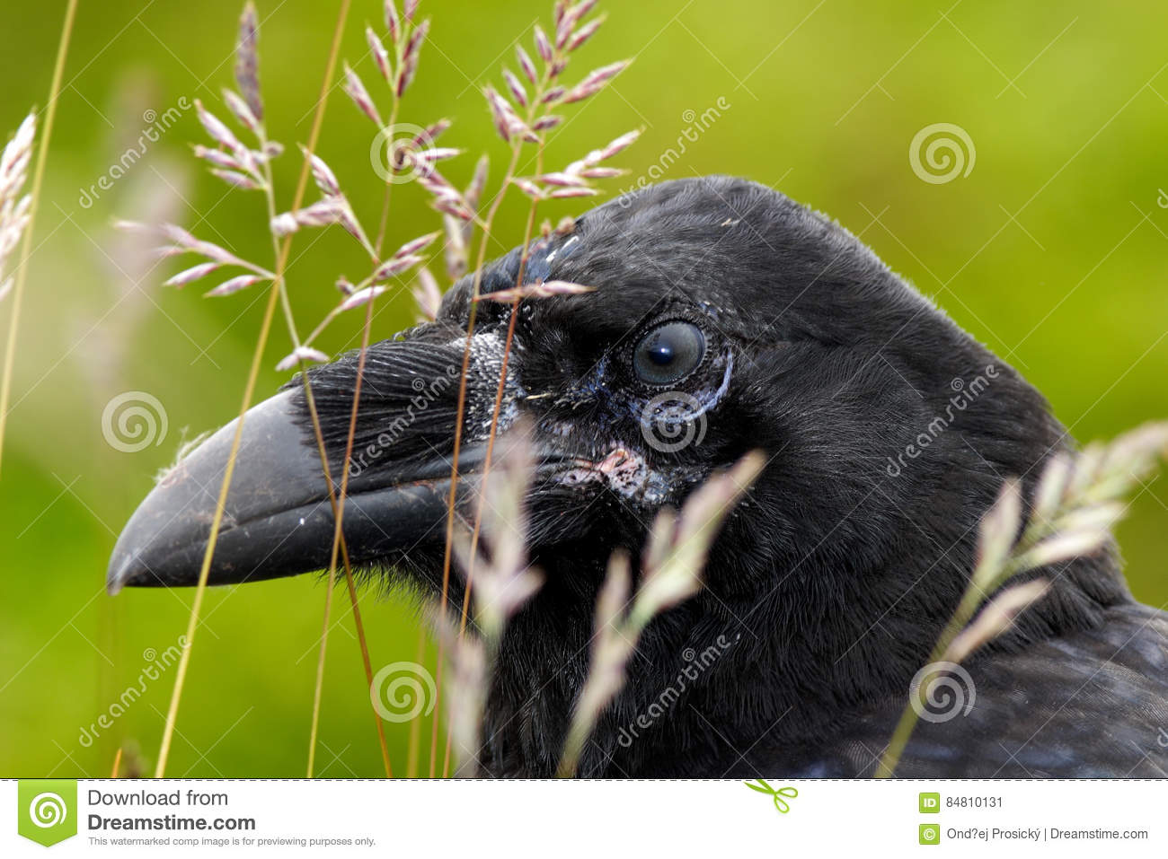 Detail portrait of raven hidden in grass. Black bird raven with open beak sitting on the meadow. Close-up of black bird with thick