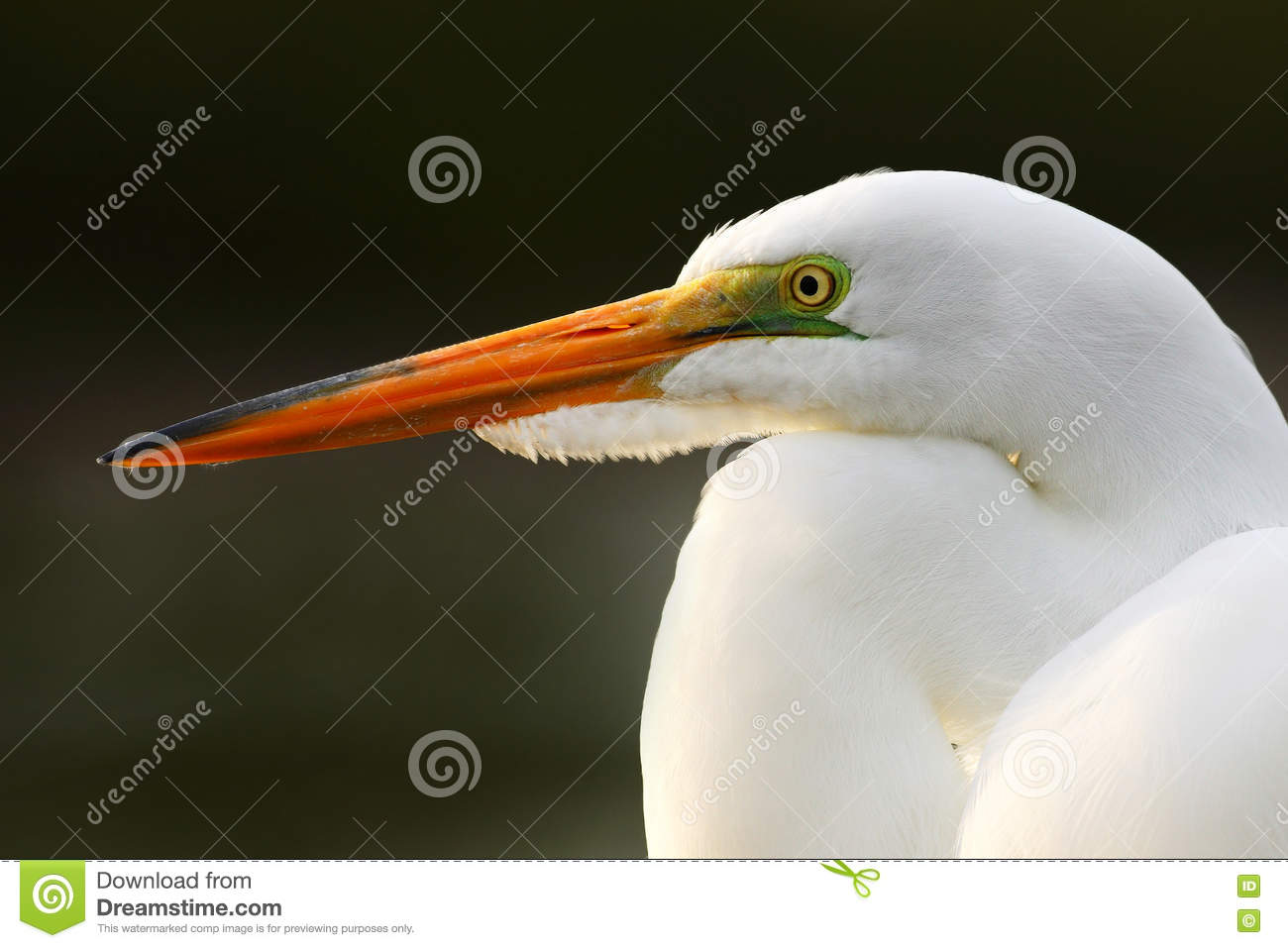 Download Detail Portrait Of Water Bird. White Heron, Great Egret, Egretta Alba, Standing In The Water In The March. Beach In Florida, USA. Stock Photo - Image of dominical, ornithology: 75949918