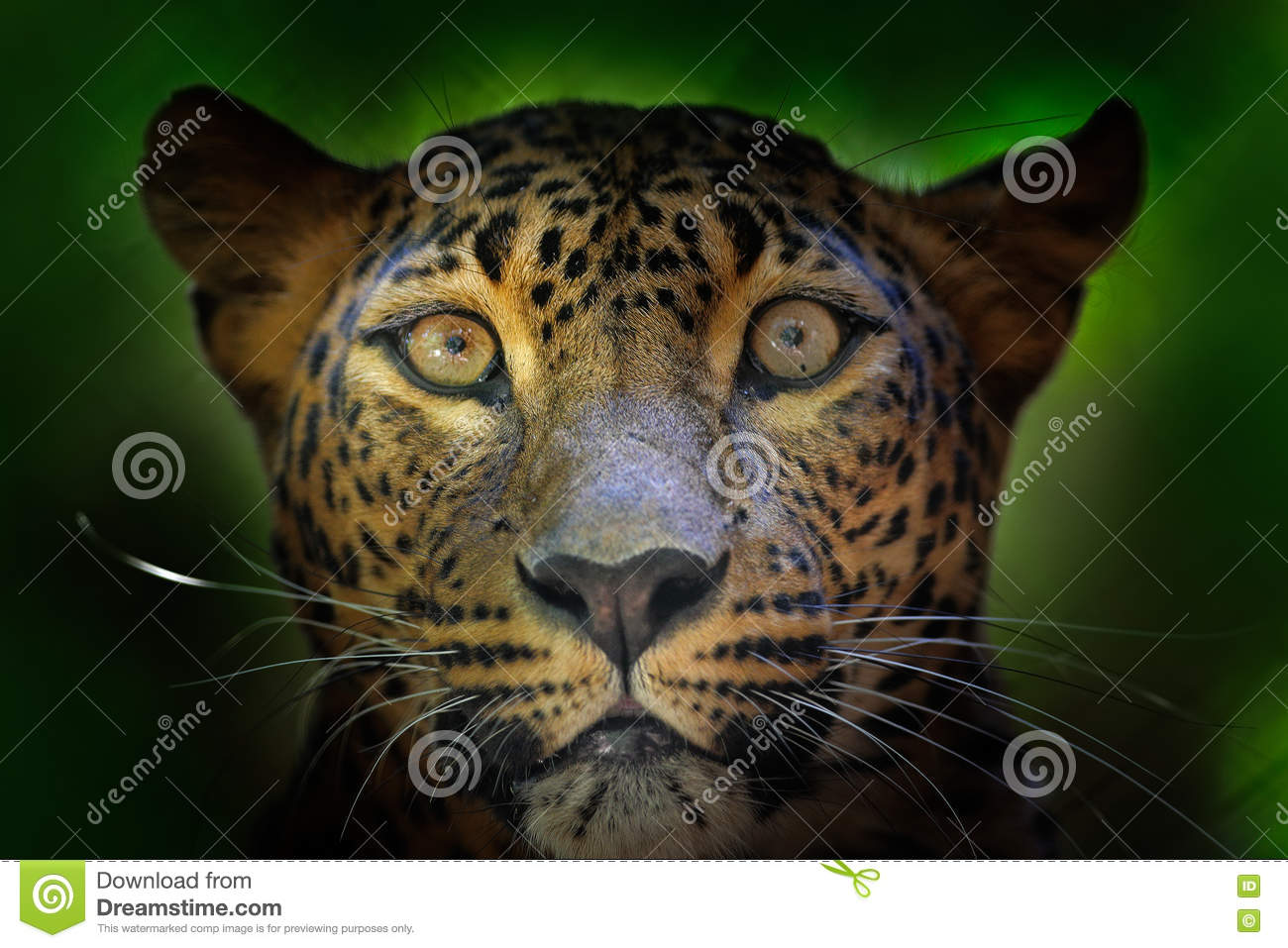 Detail portrait of wild cat. Sri Lankan leopard, Panthera pardus kotiya, Big spotted cat lying on the tree in the nature habitat,