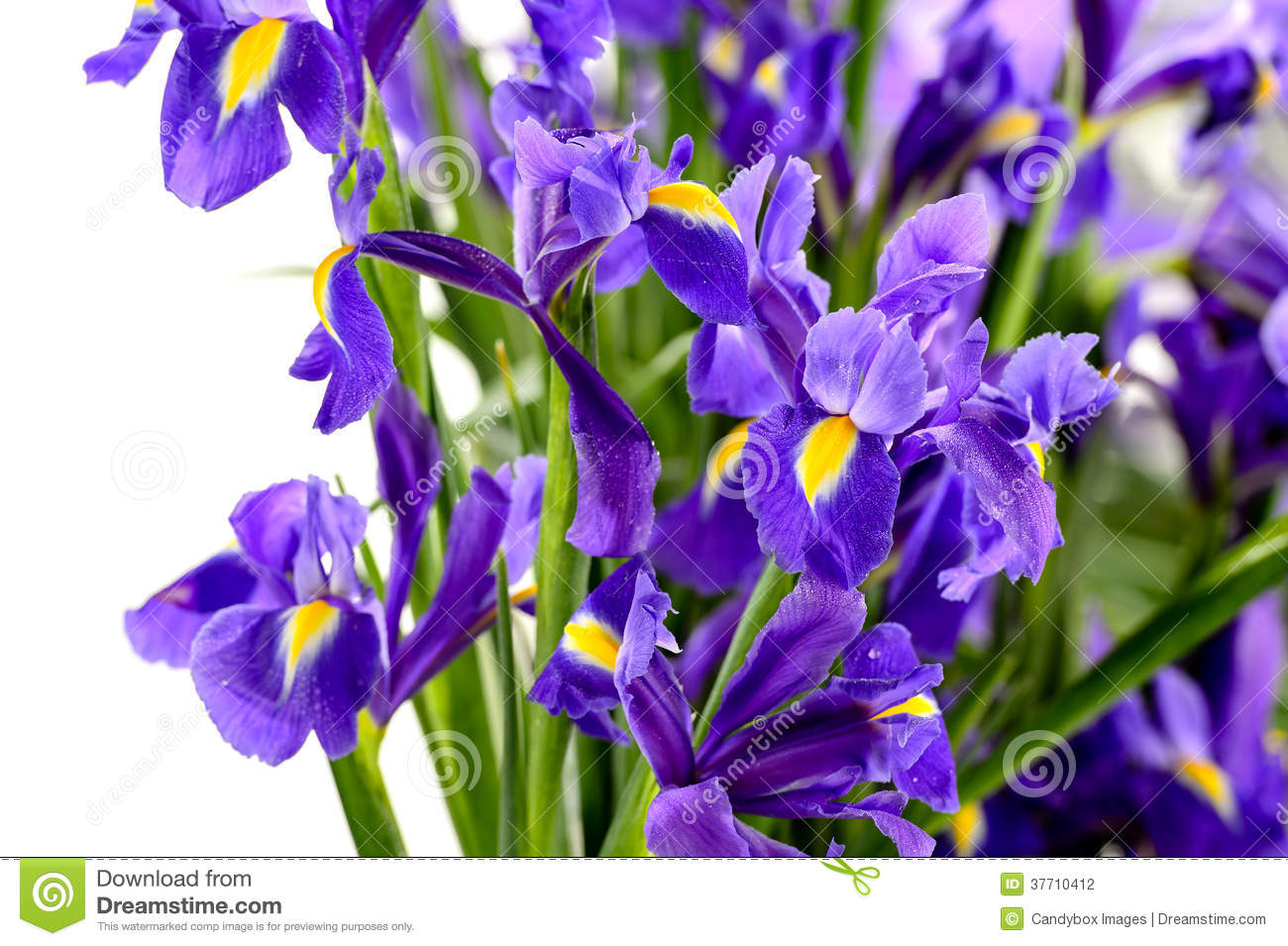 Detail of purple iris spring flower stock photo image of white detail of purple iris spring flower mightylinksfo