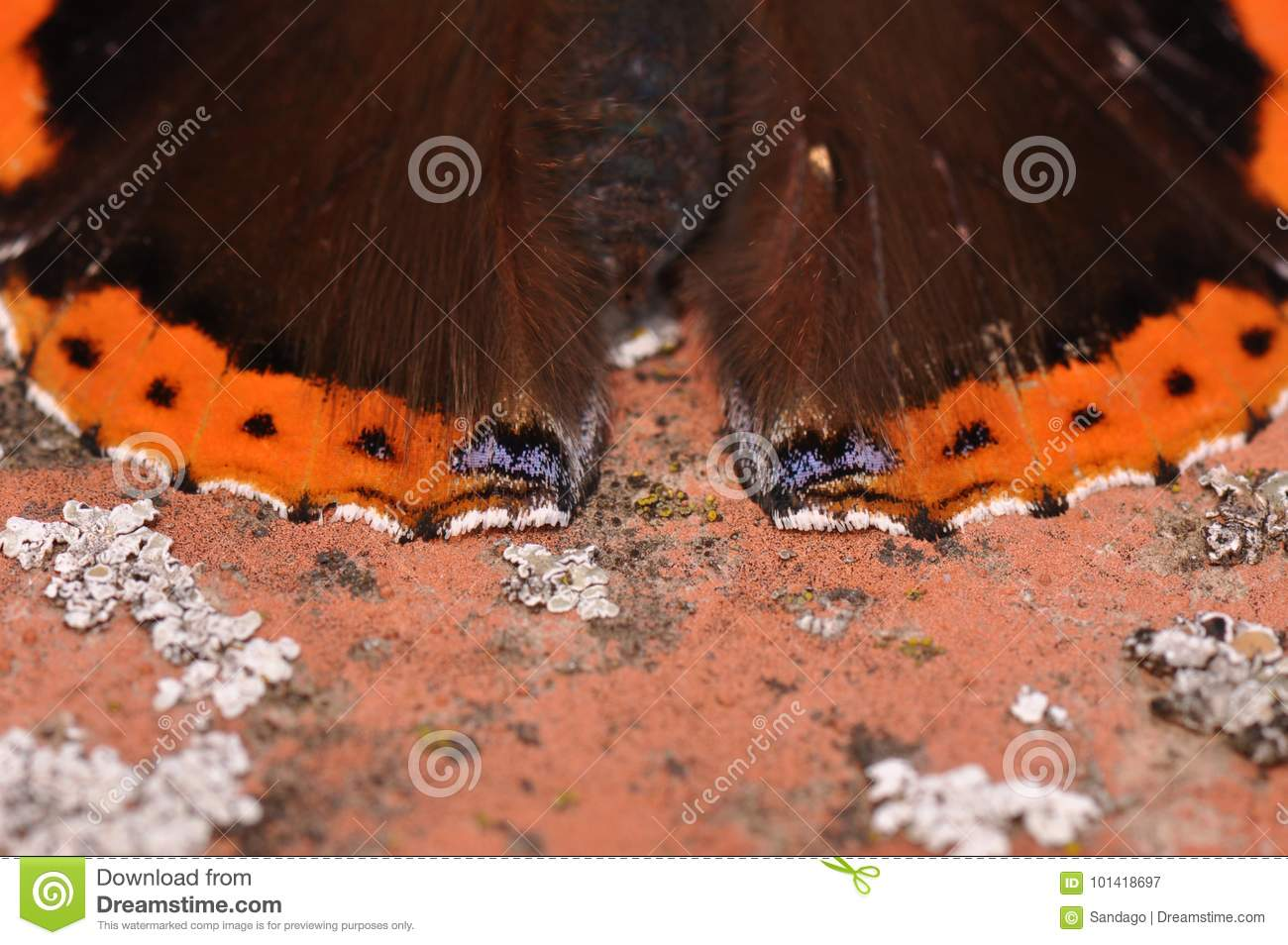 Red Admiral Butterfly detail