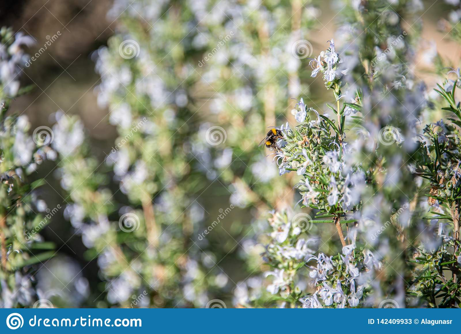 Detail of rosemary blossoms with bee