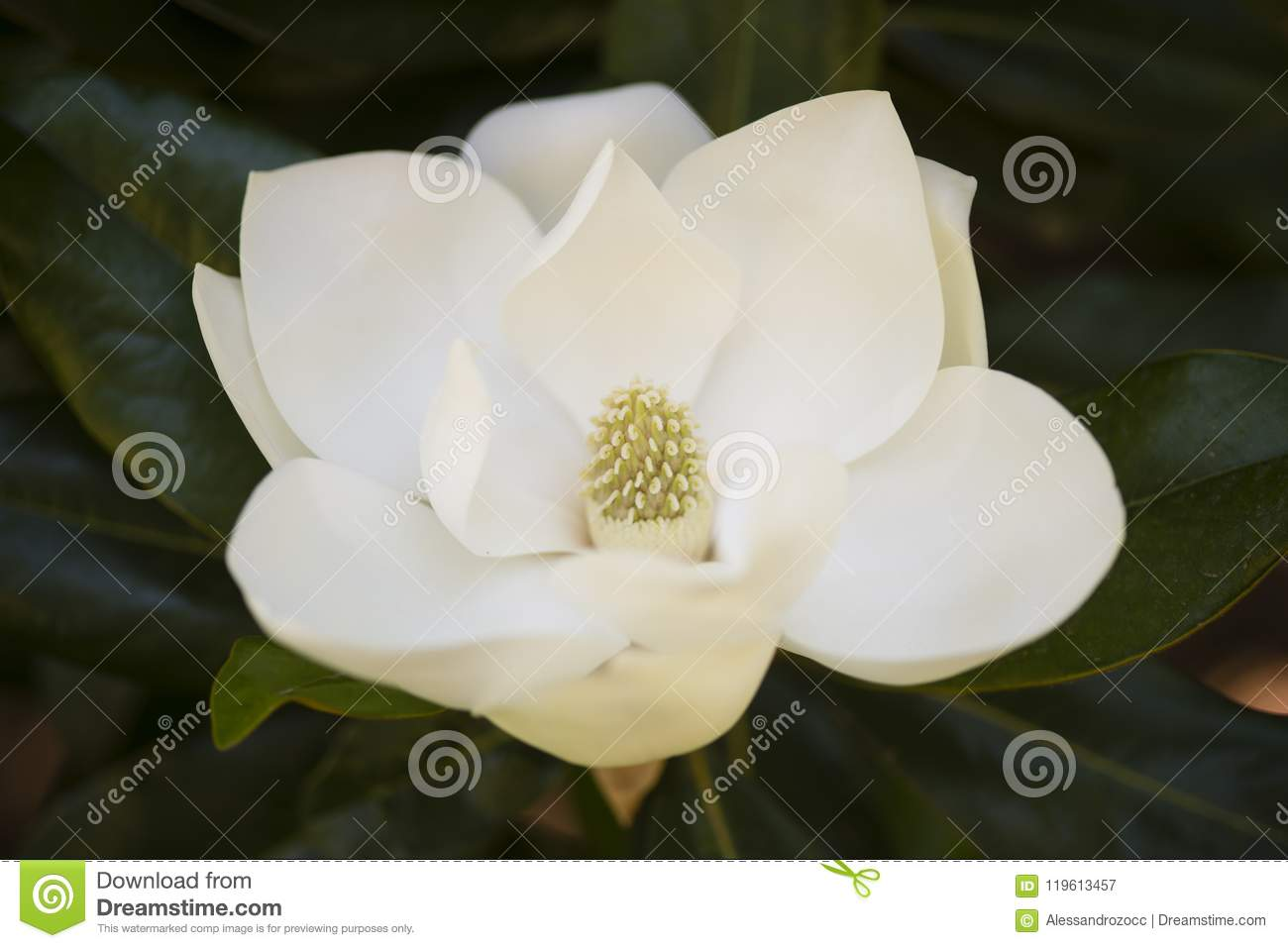 Detail Of Southern Magnolia Flower Stock Image Image Of Flower