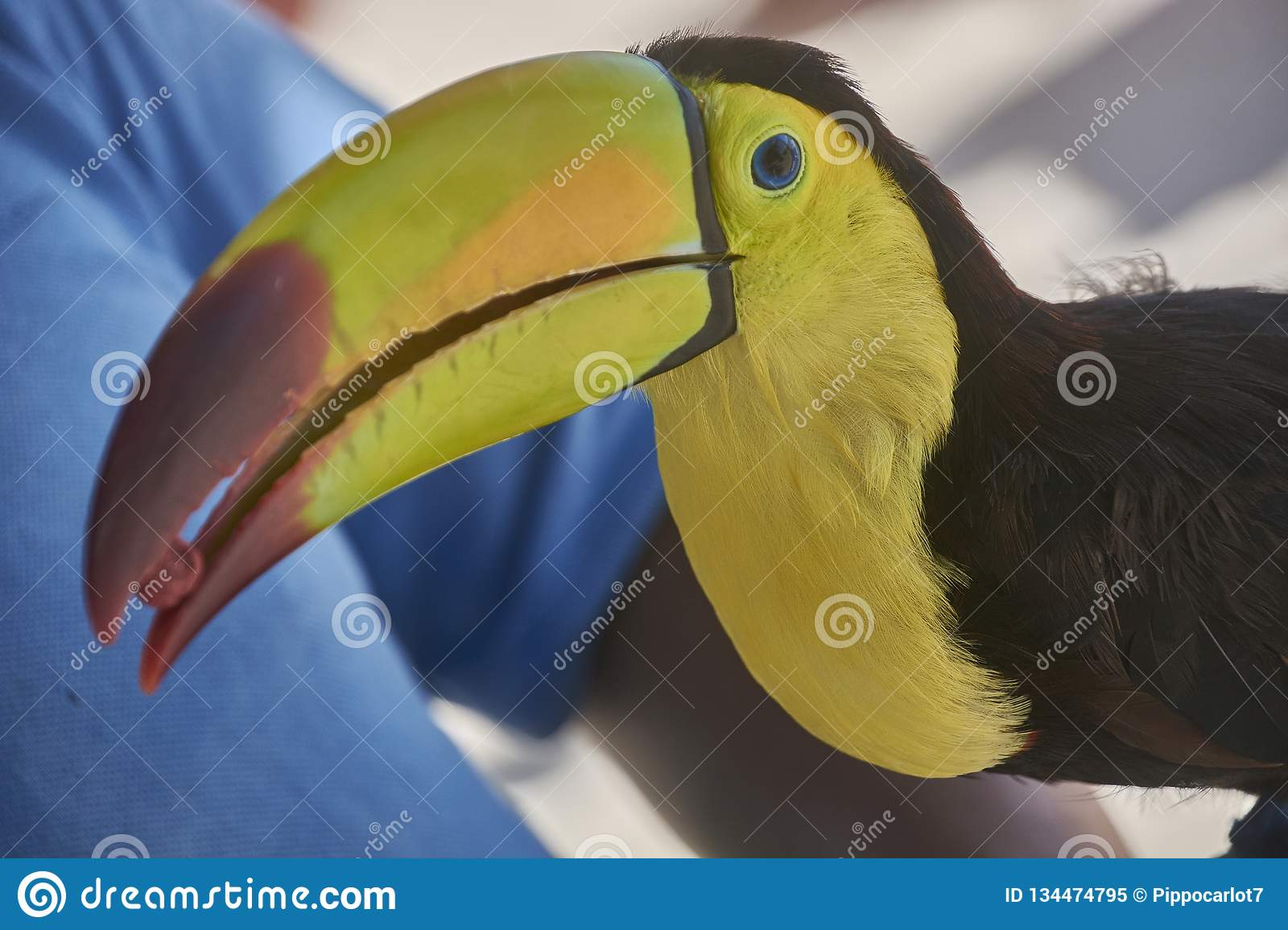 Detail of the Tucan. Portrait close up of an exotic toucan with huge beak and yellow chest royalty free stock photo