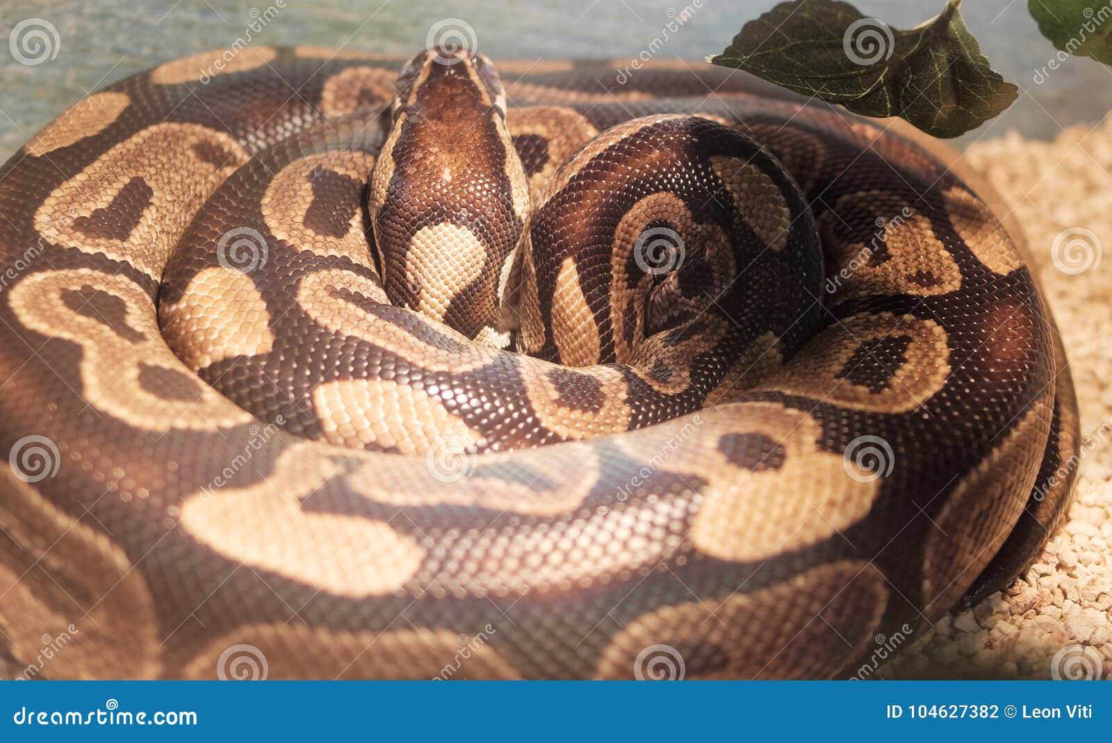 Download Detail Van Python Koninklijke I Stock Foto - Afbeelding bestaande uit eating, pastelkleur: 104627382