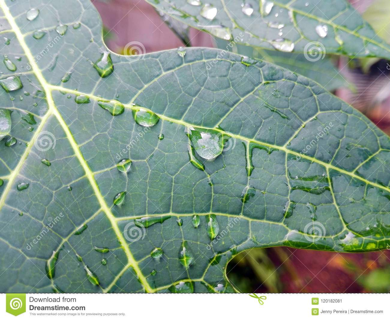 detail of water drops on part of a papaya leaf