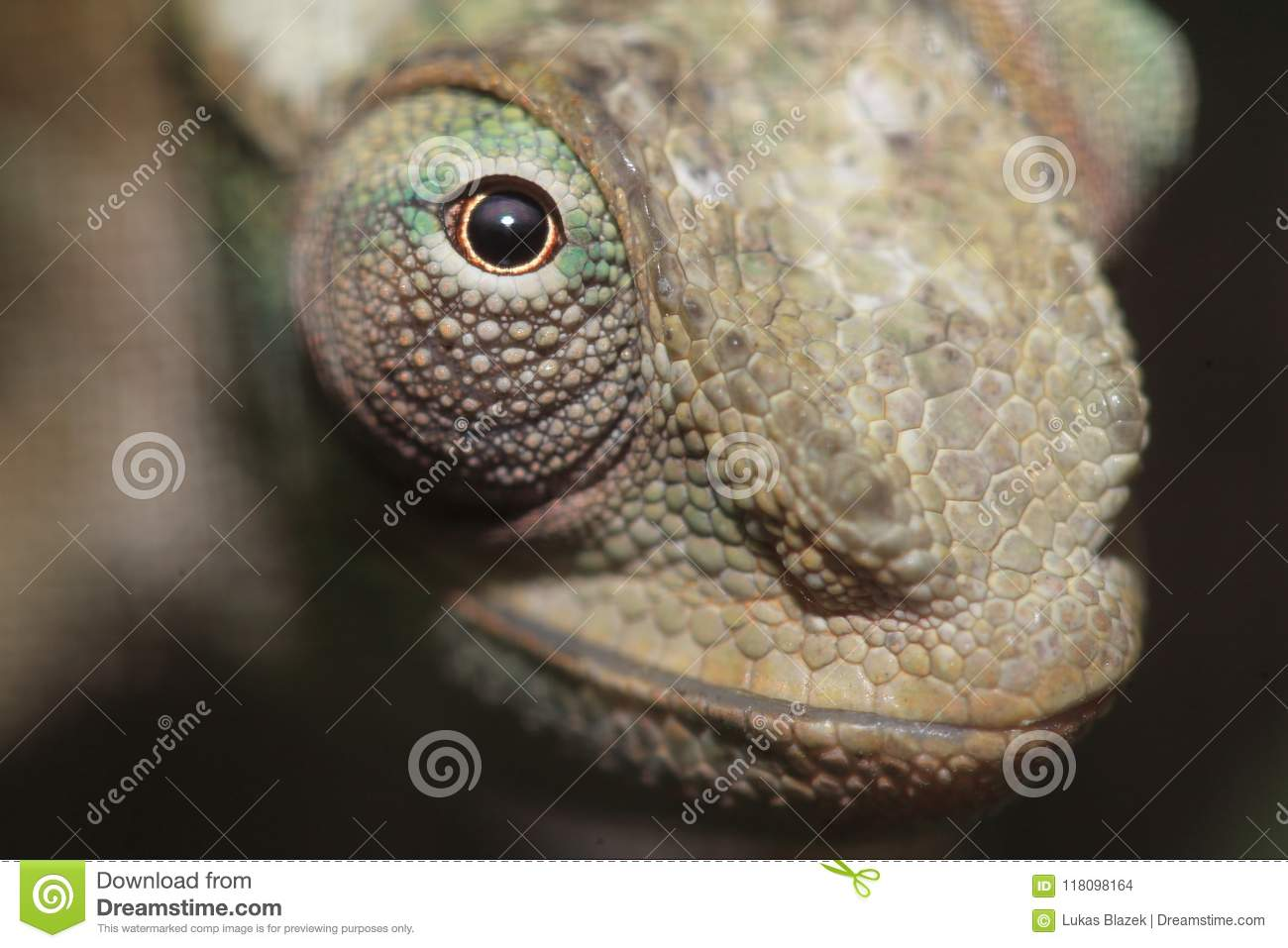 West Usambara two-horned chameleon