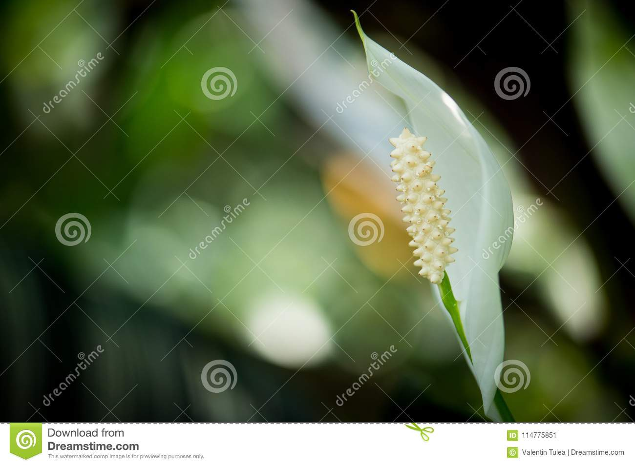 Detail of a white calla lily