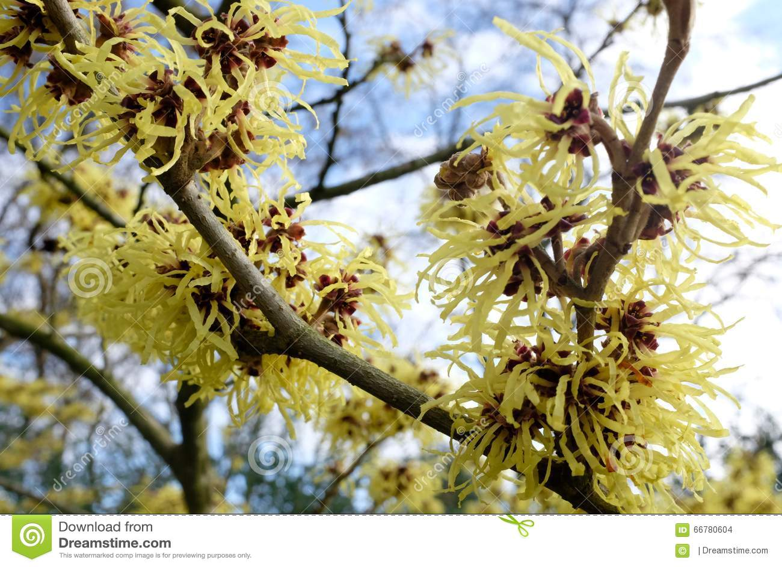 Detail Of Yellow Flowers Of The Hamamelis Mollis Stock Photo