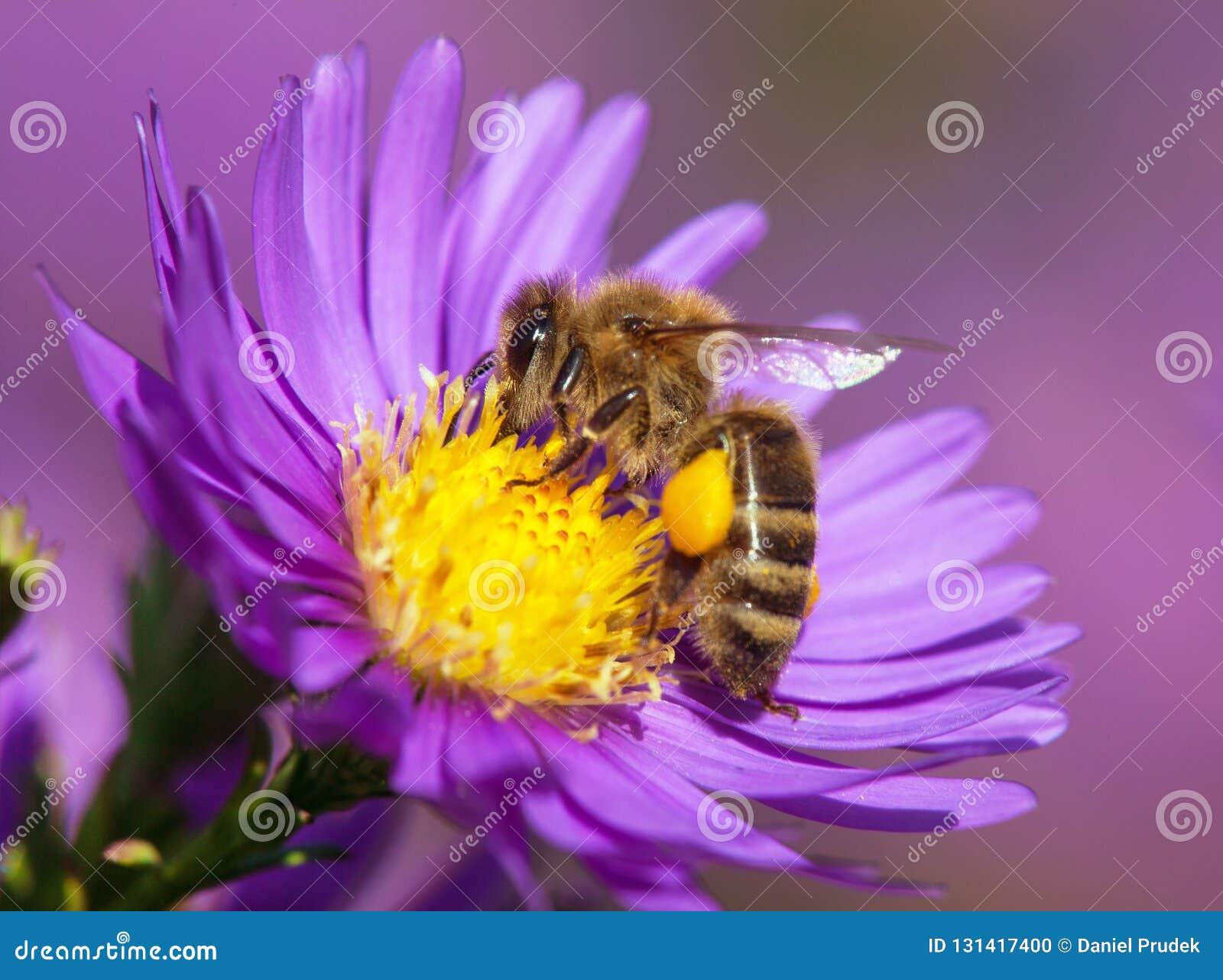 Detailbij of honingbij in Latijnse westelijke de honingbijzitting van Apis Mellifera, Europees of op de gele violette of blauwe b