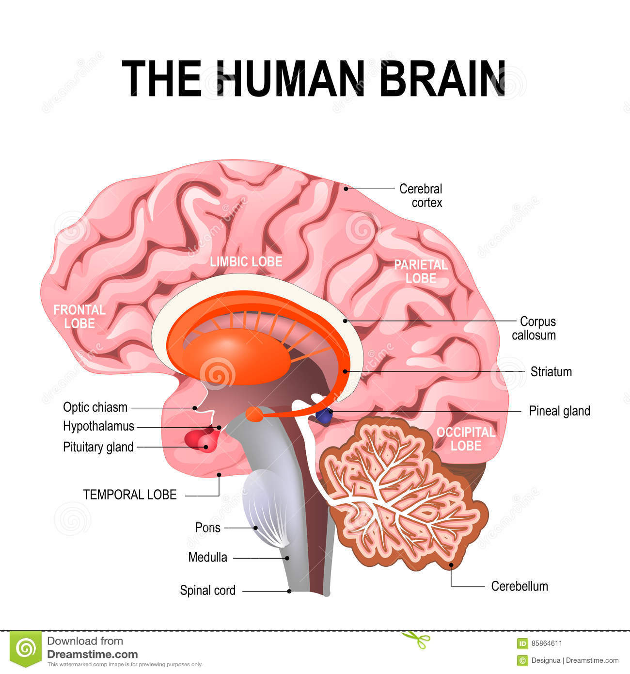 Anatomy Brain Stock Illustrations – 20,063 Anatomy Brain Stock ...