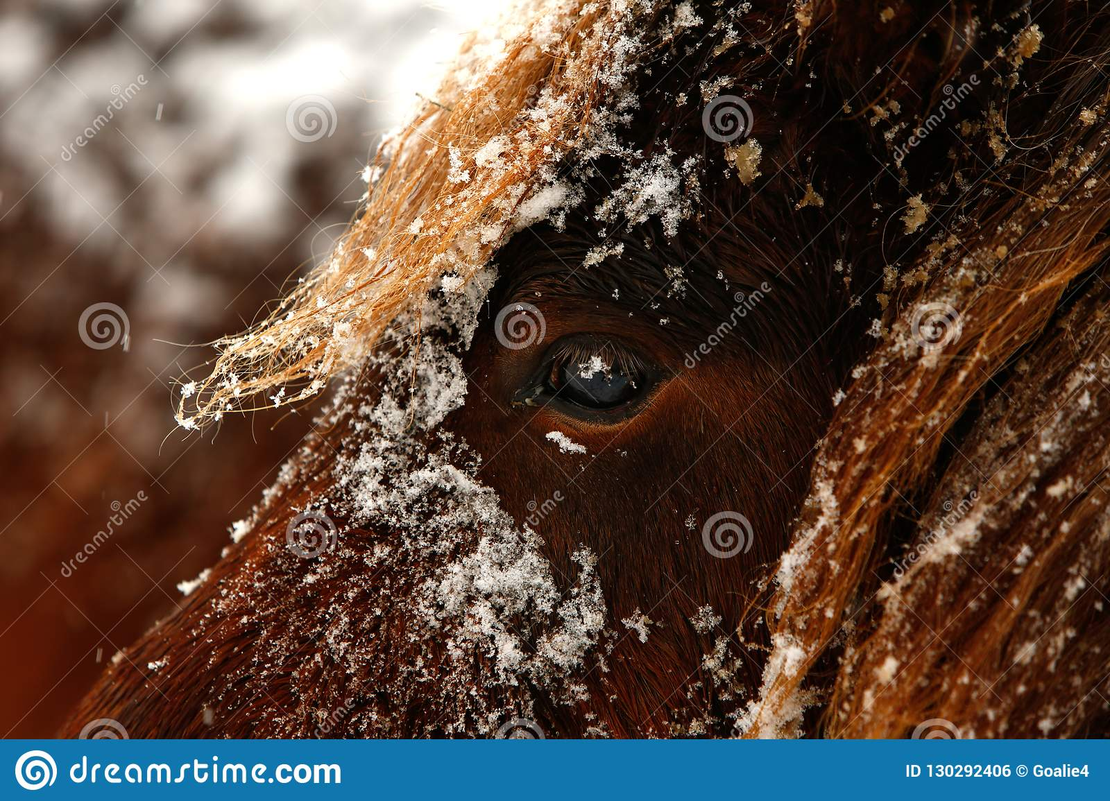 Detailed close up portrait of a snowy brown Horse