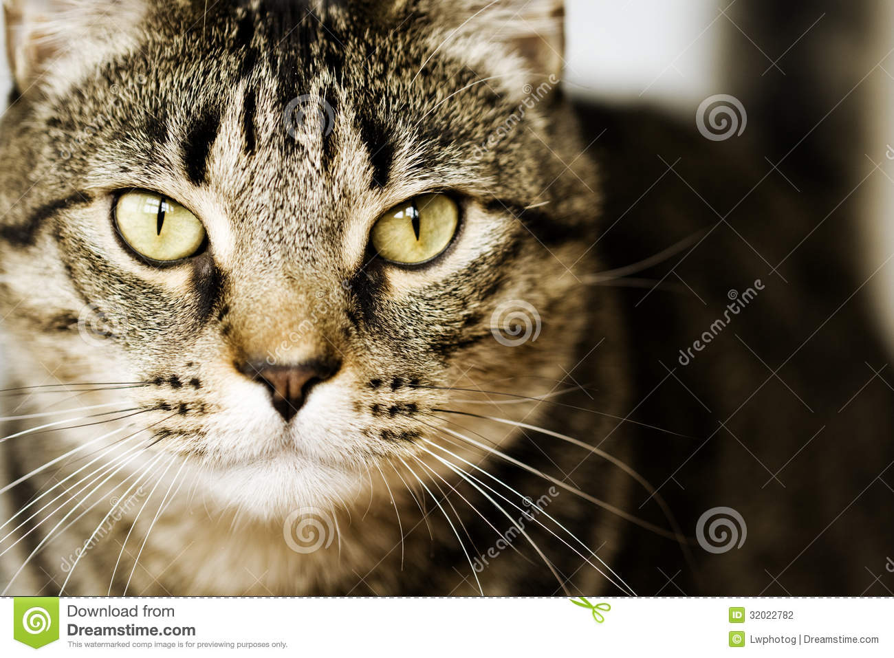 Gray Tabby Cats With Yellow Eyes