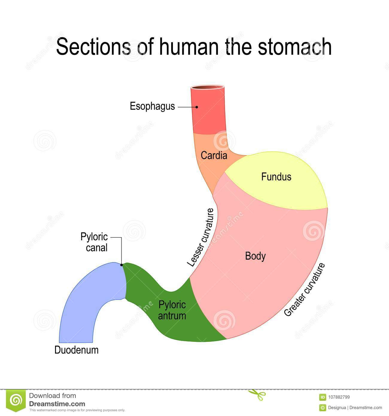 Detailed Diagram Of The Structure From Inside Of The Stomach Stock