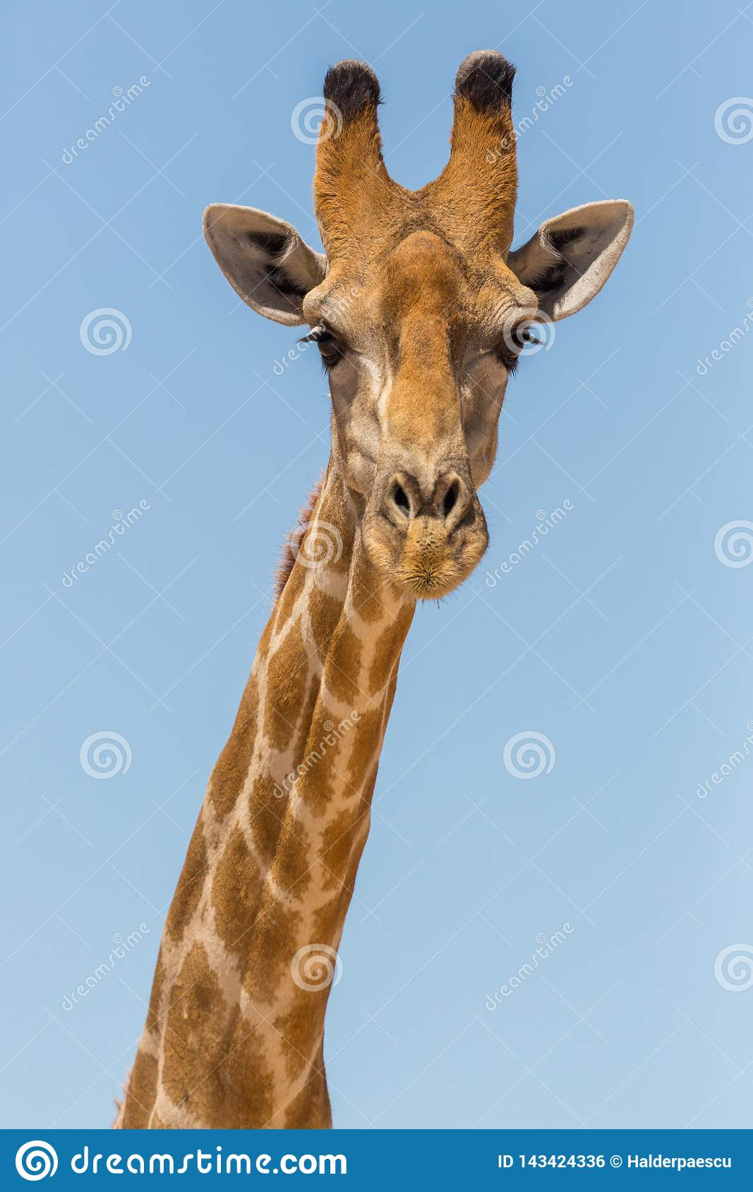 Detailed front view portrait of male giraffe head and neck, blue sky