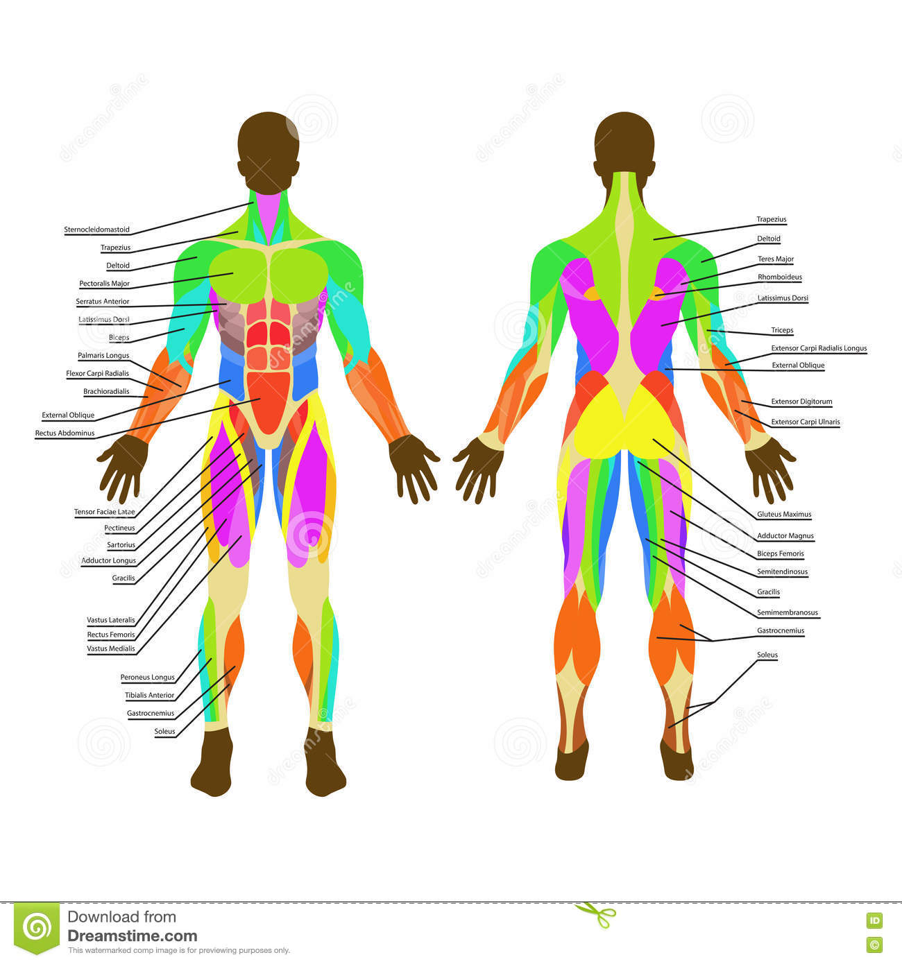 Illustration Of Human Muscles Exercise And Muscle Guide Gym