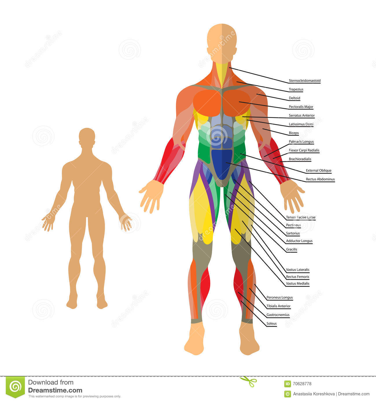 Detailed Illustration Of Human Muscles. Exercise And Muscle Guide ...