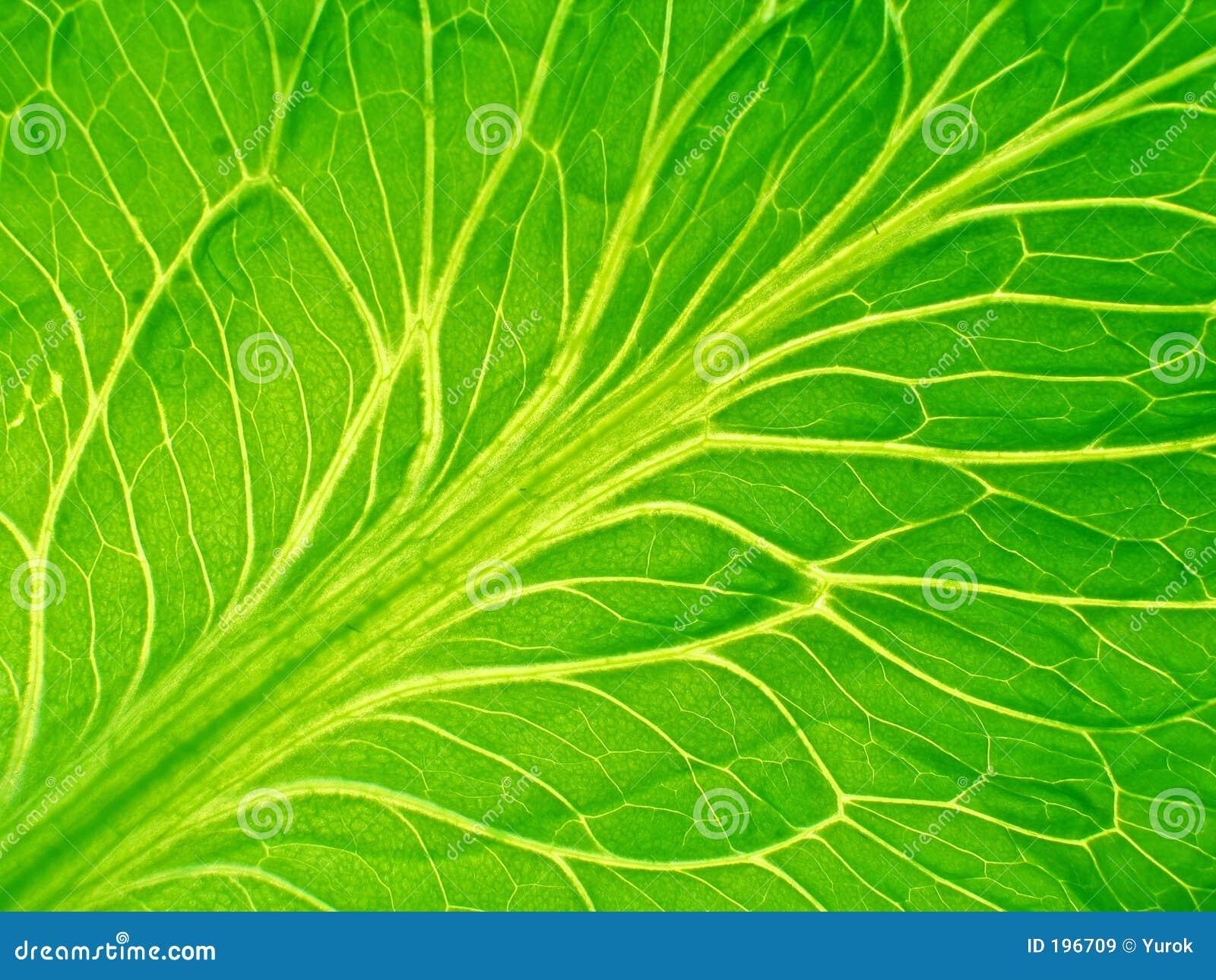 Detailed leaf of salad