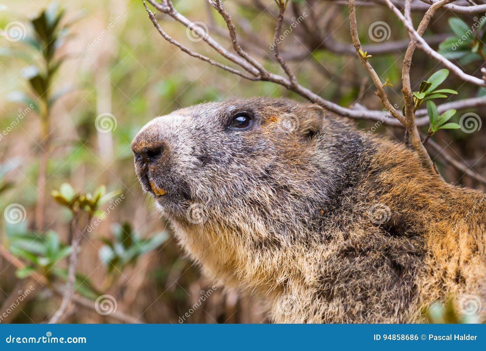 Detailed outdoor portrait of alpine groundhog Marmota monax