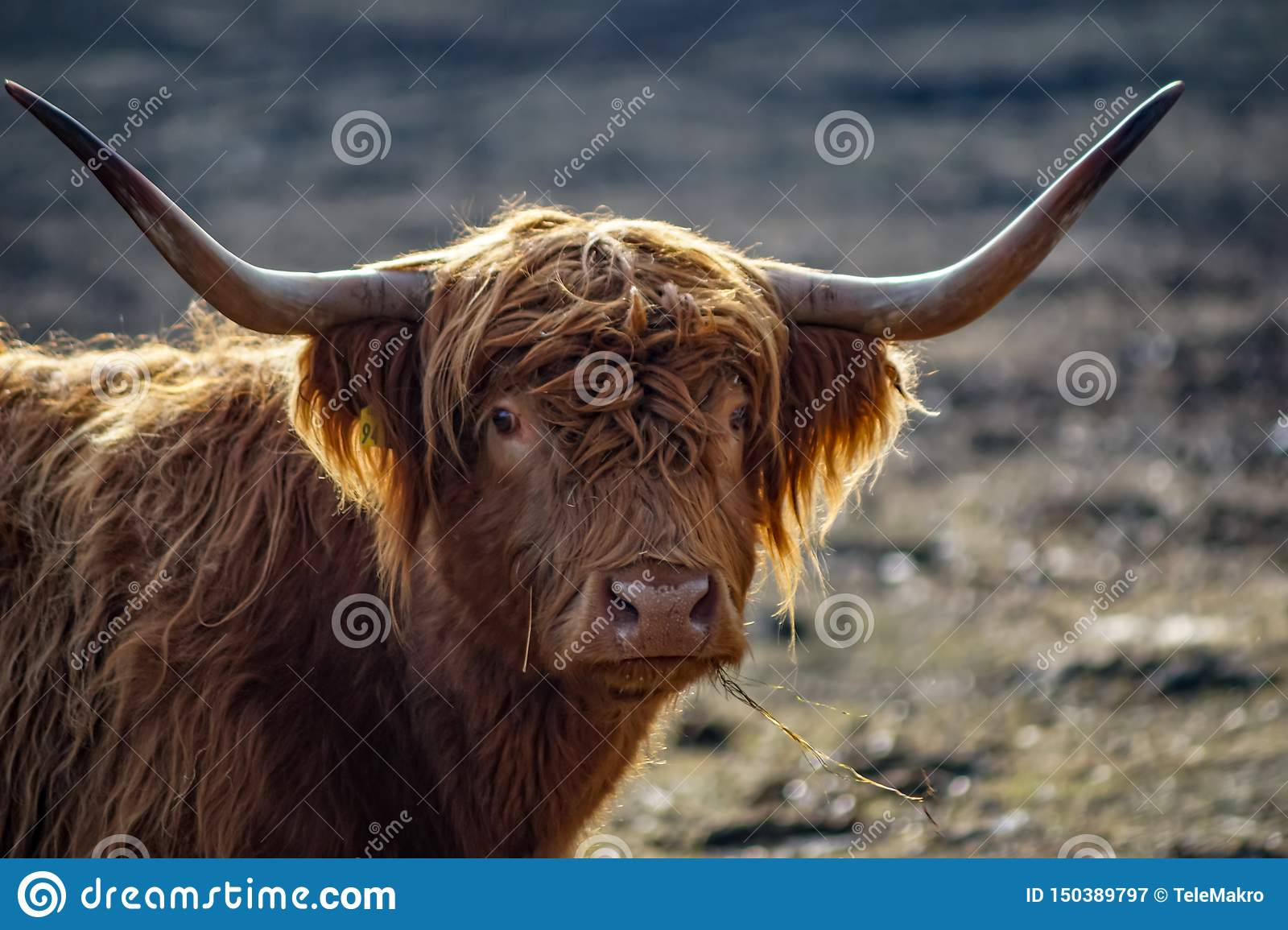 Detailed portrait of a scottish highland cattle