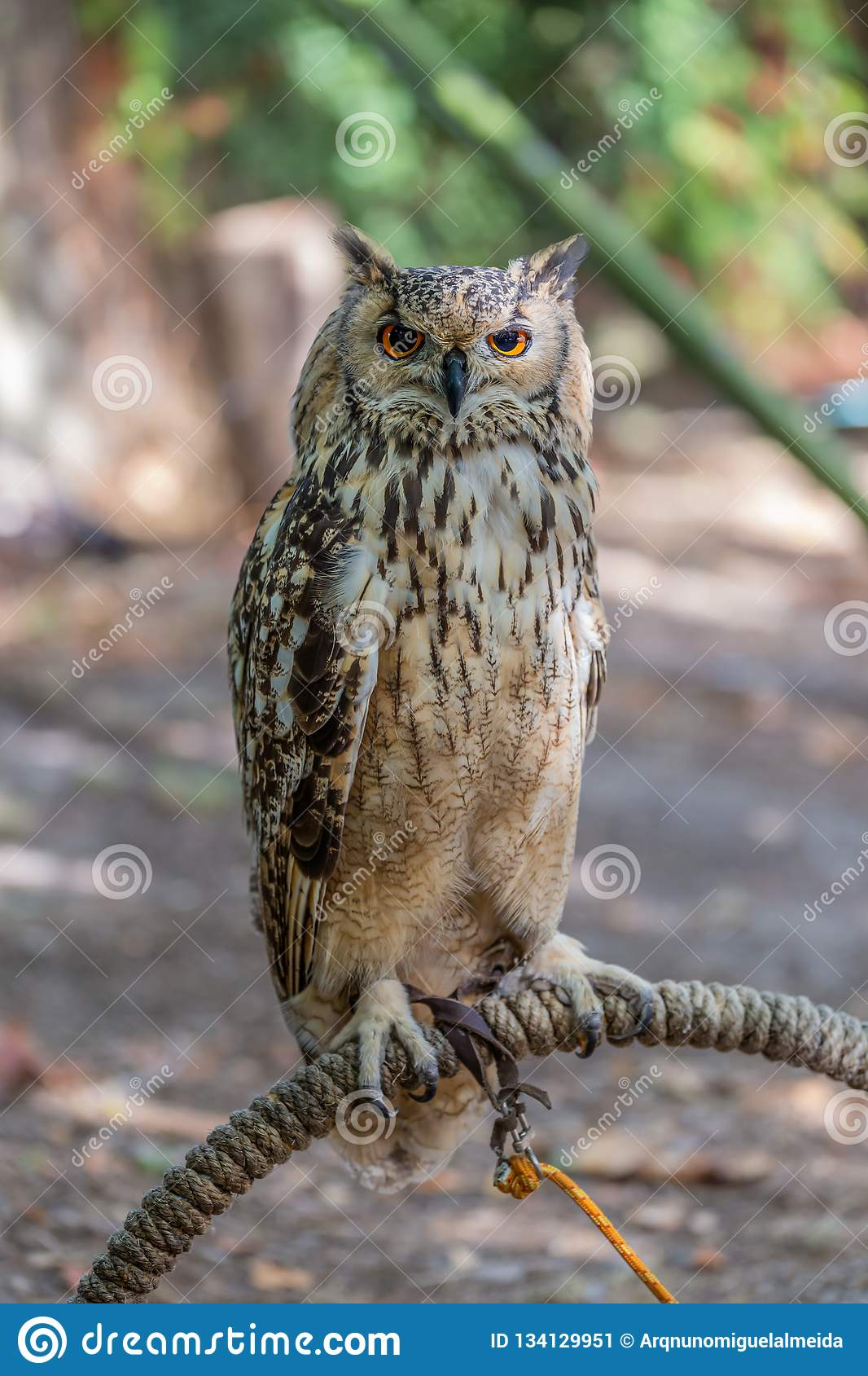 Detailed view of Horned owl, Indian eagle-owl, Bubo bengalensis