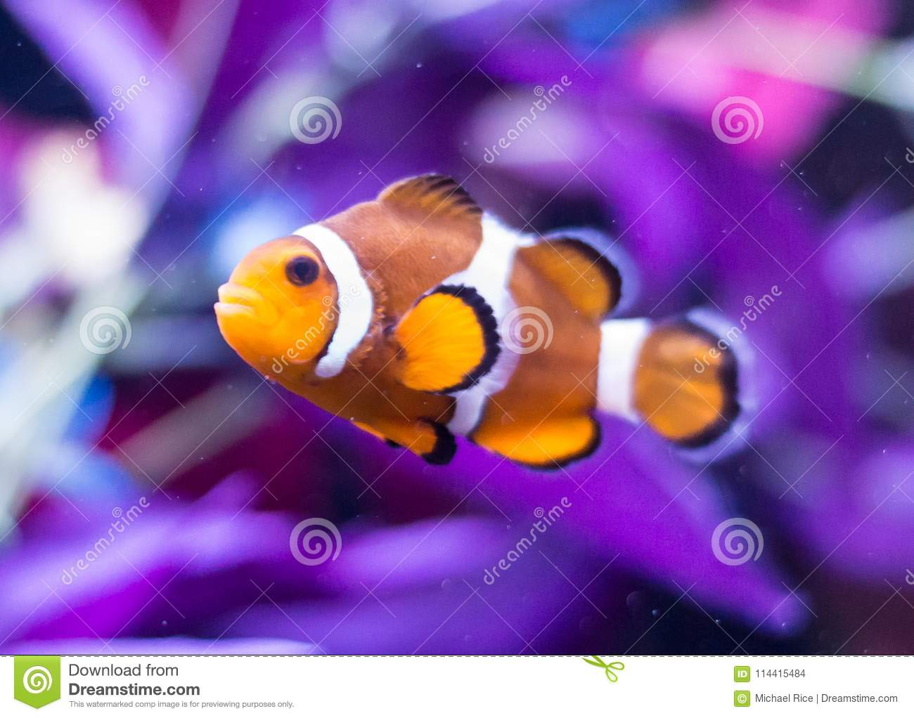 ocellaris clownfish on black background stock photo image of