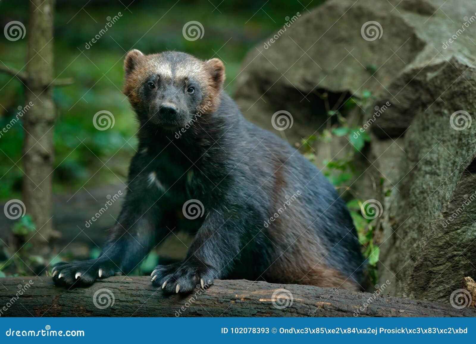 Detailportret van wilde wolverine Gezichtsportret van wolverine Het lopen standvastige Wolverine in tajga van Finland Gevaarsdier