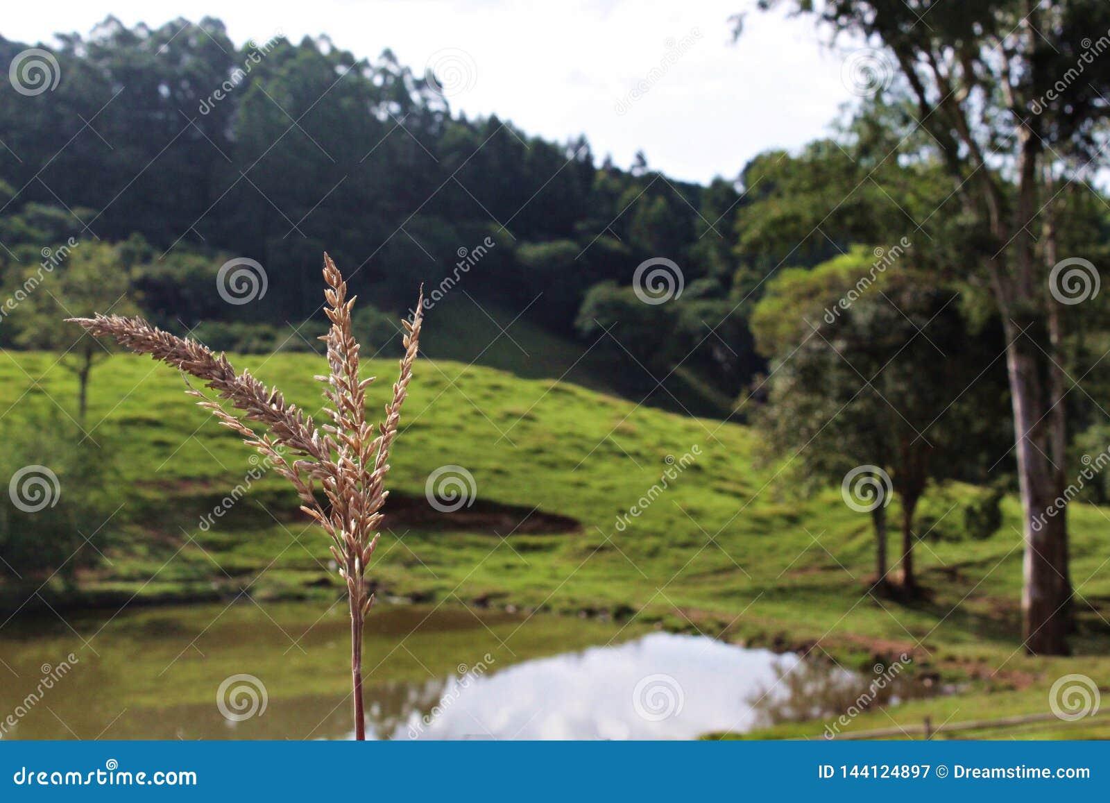 Details über Weizen mit Hintergrund von einem See