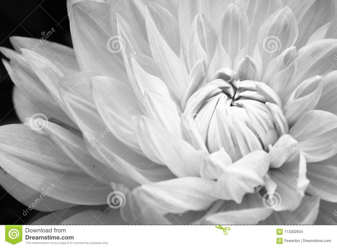 Details Of Blooming White Dahlia Fresh Flower Macro Photography