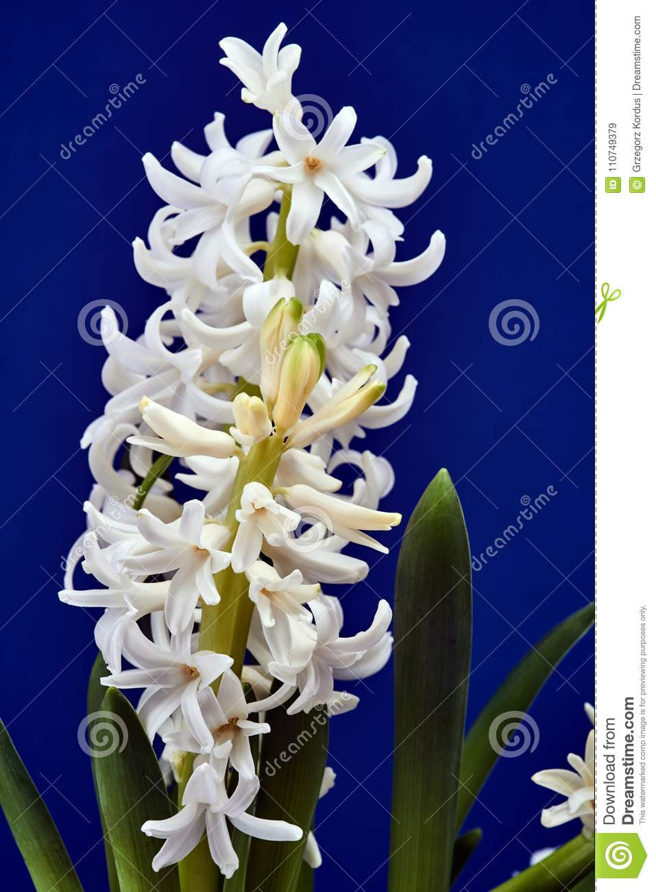 Details of a bouquet of flowers hyacinth stock image image of download details of a bouquet of flowers hyacinth stock image image of flora poland izmirmasajfo