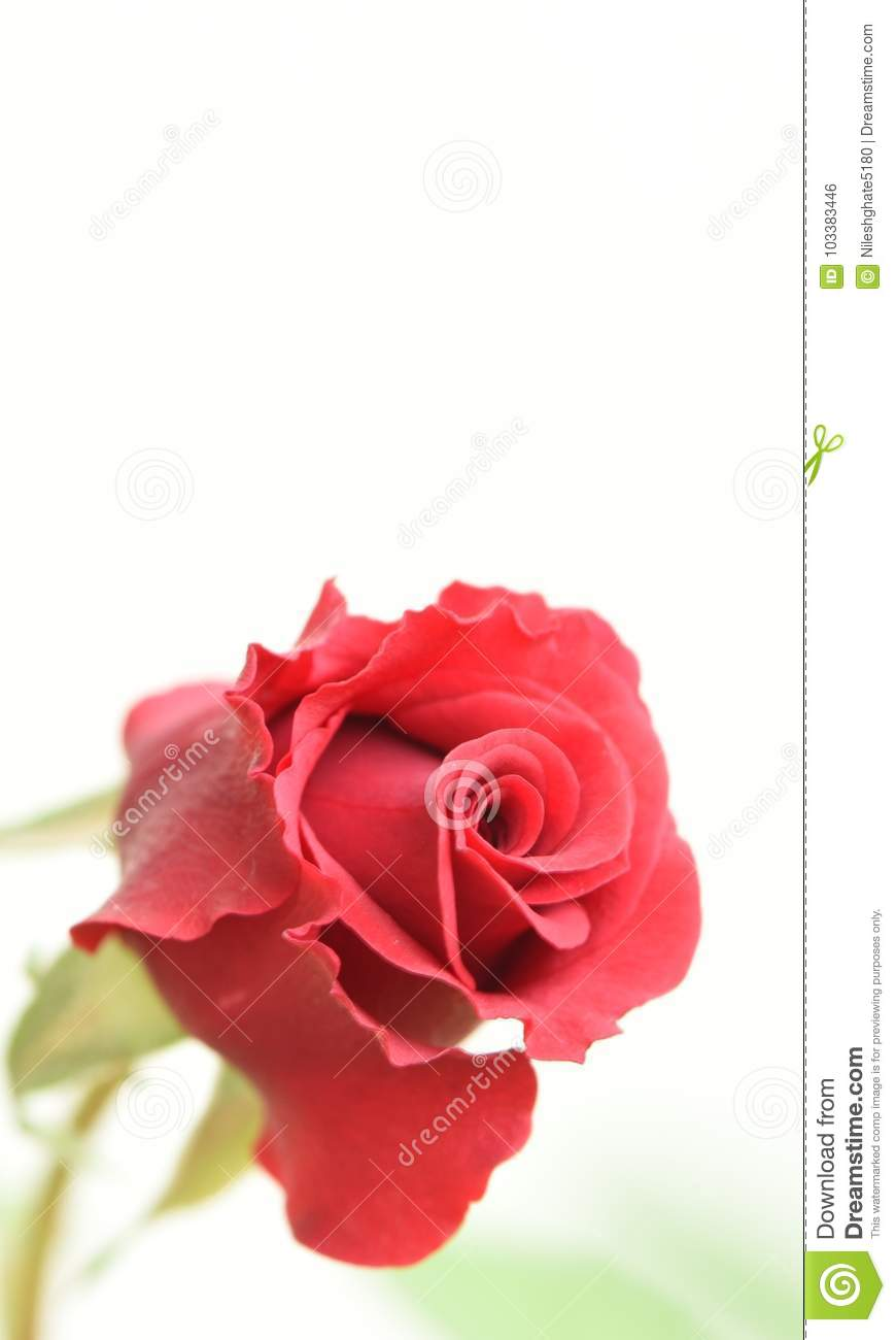 Details Of Red Rose Flower For Background And Mobile Phone Wallpaper