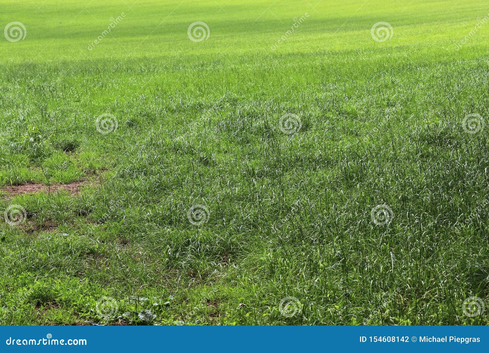 Detalhado perto acima da vista em superfícies da grama verde