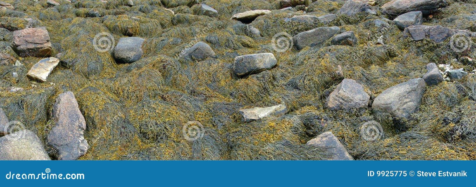 Detalhe, alga e kelp em rochas da praia