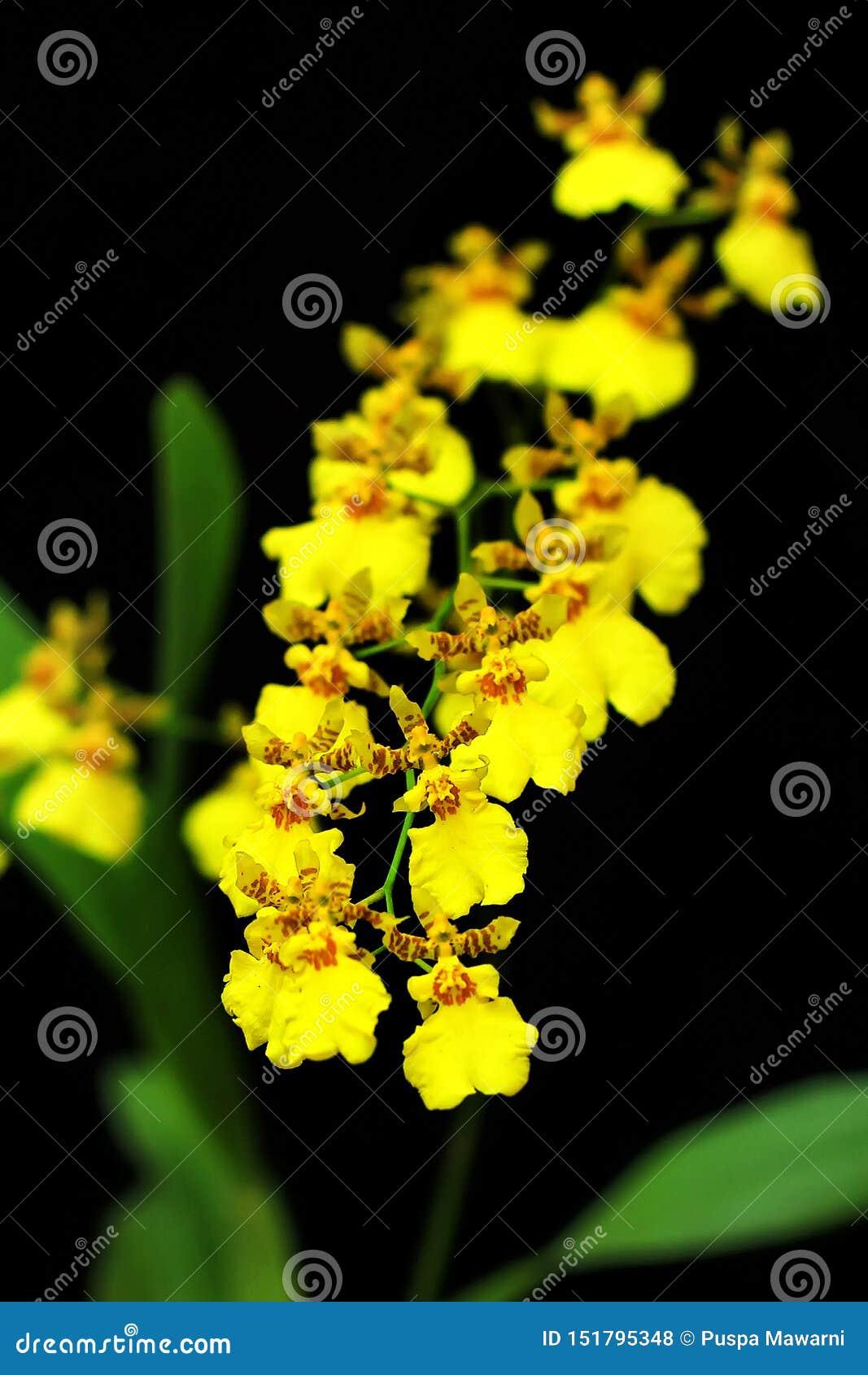 Detalhe das orquídeas douradas brancas do chuveiro com fundo preto