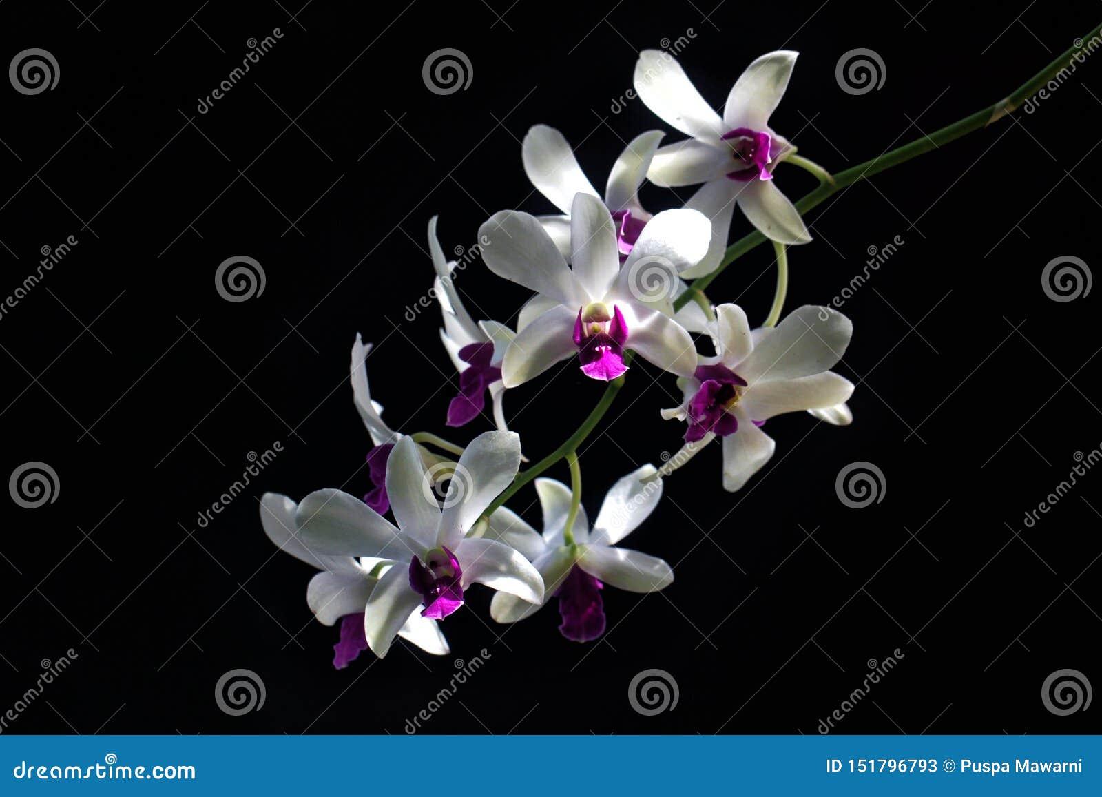 Detalhe das orquídeas roxas brancas Dendrodium com fundo preto e luz natural nas pétalas da flor