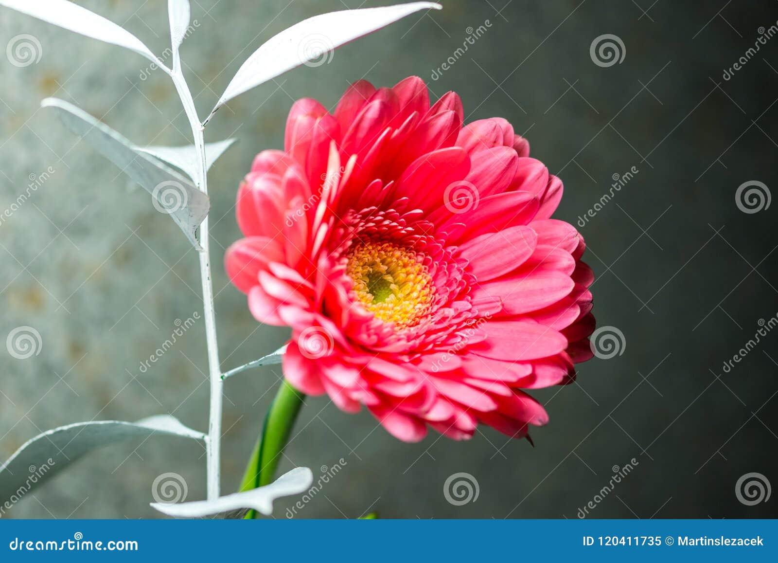 Detalhe de flor cor-de-rosa do gerbera Flor cor-de-rosa colocada no fundo azul, flor agradável da mola