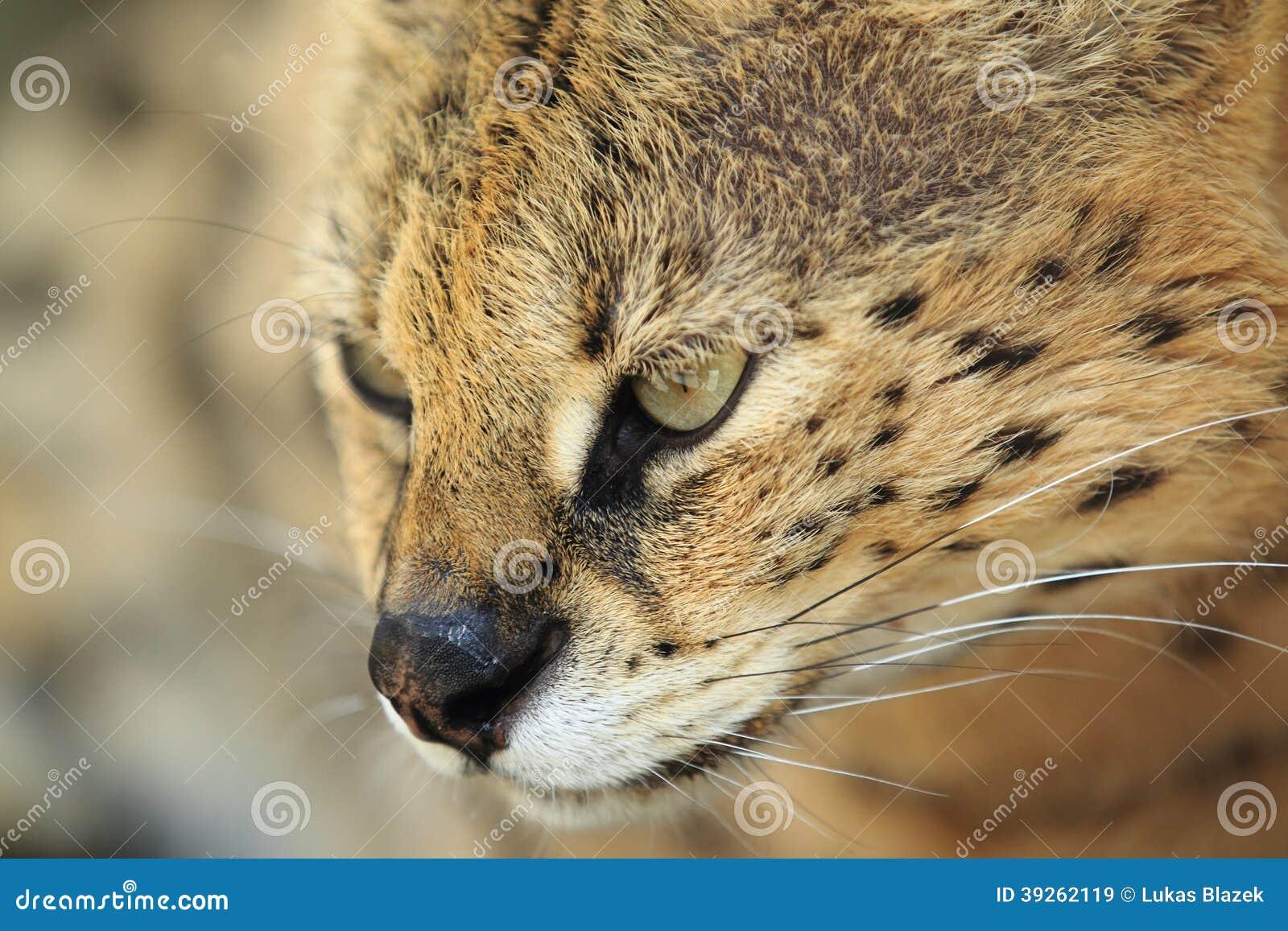 Detalhe do Serval