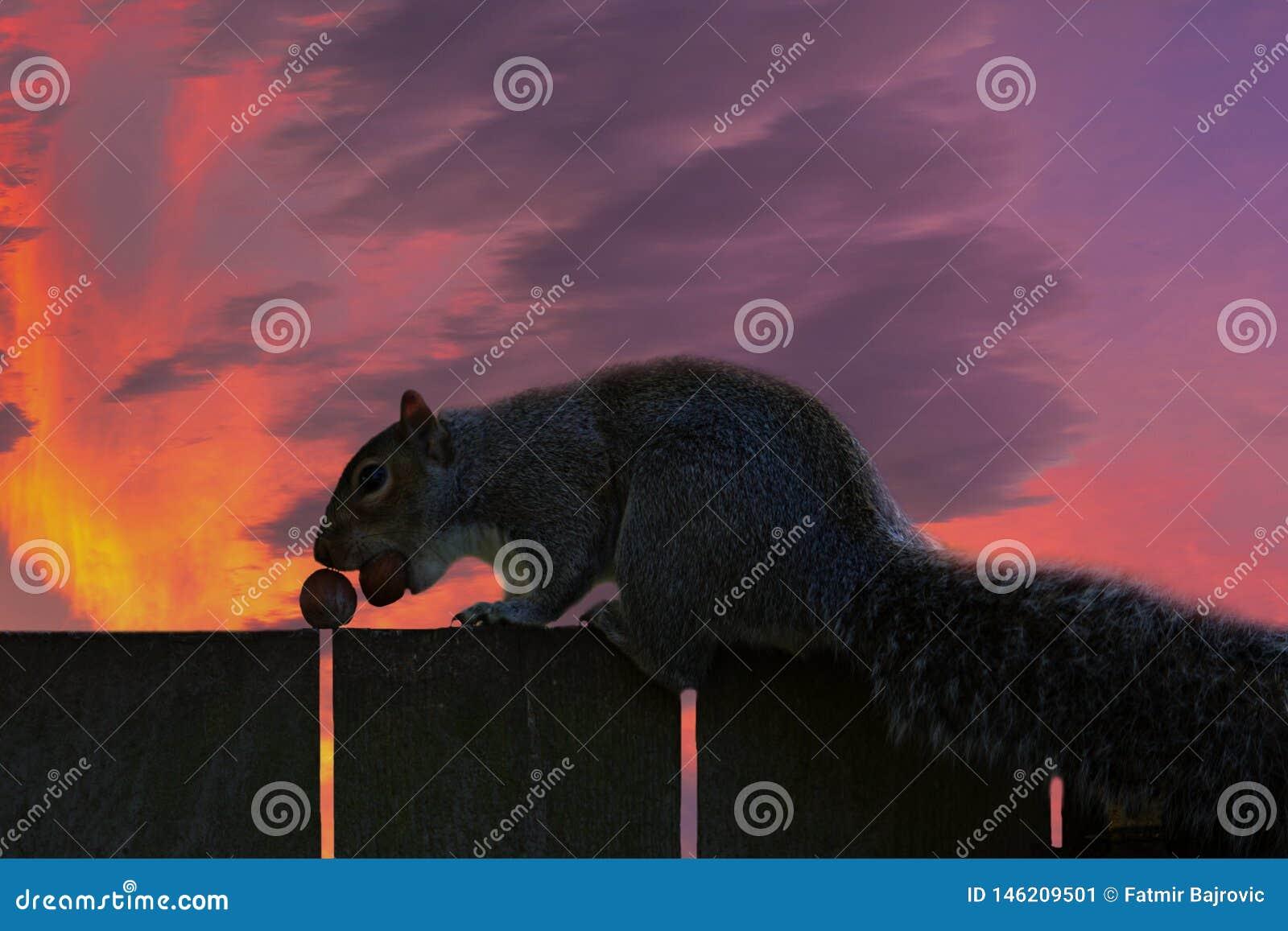 Detalhe interessante Retrato do esquilo de um fim acima Há um esquilo em uma cerca de madeira Por do sol agradável mesmo no fundo