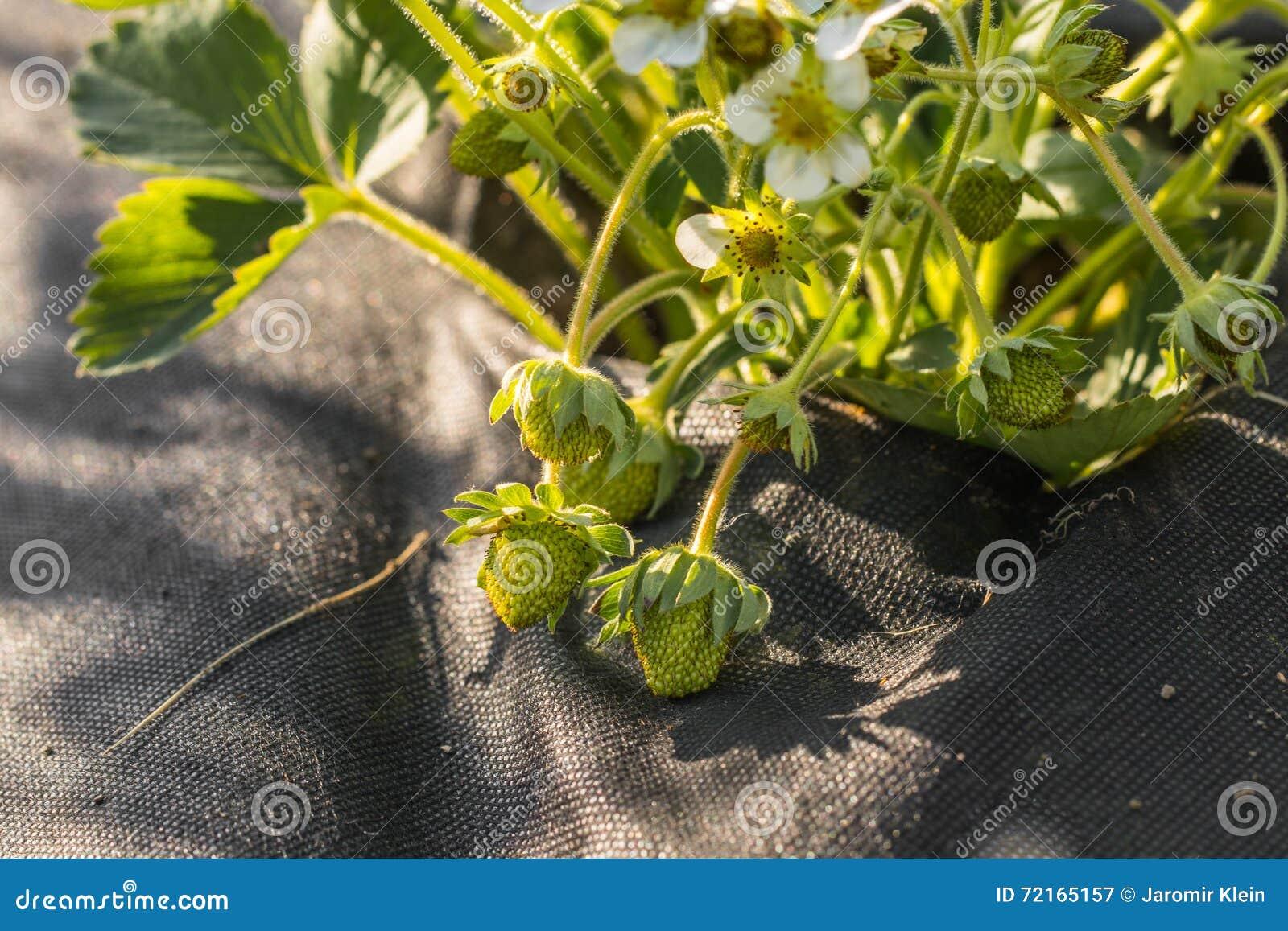 Detalhe no morangos verdes plantadas na paisagem preta Fabri