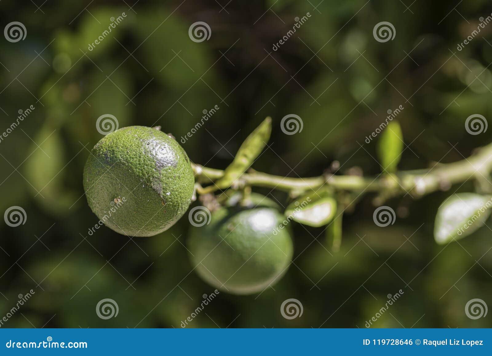 Detalhe a uma laranja verde
