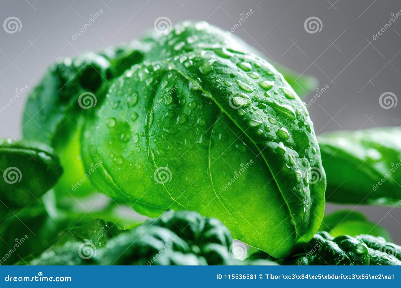 Detalj av basilikaväxten med droppe av vatten på sidor Nya organiska örter sockrar nuts kryddor för kanelbruna ingredienser för m