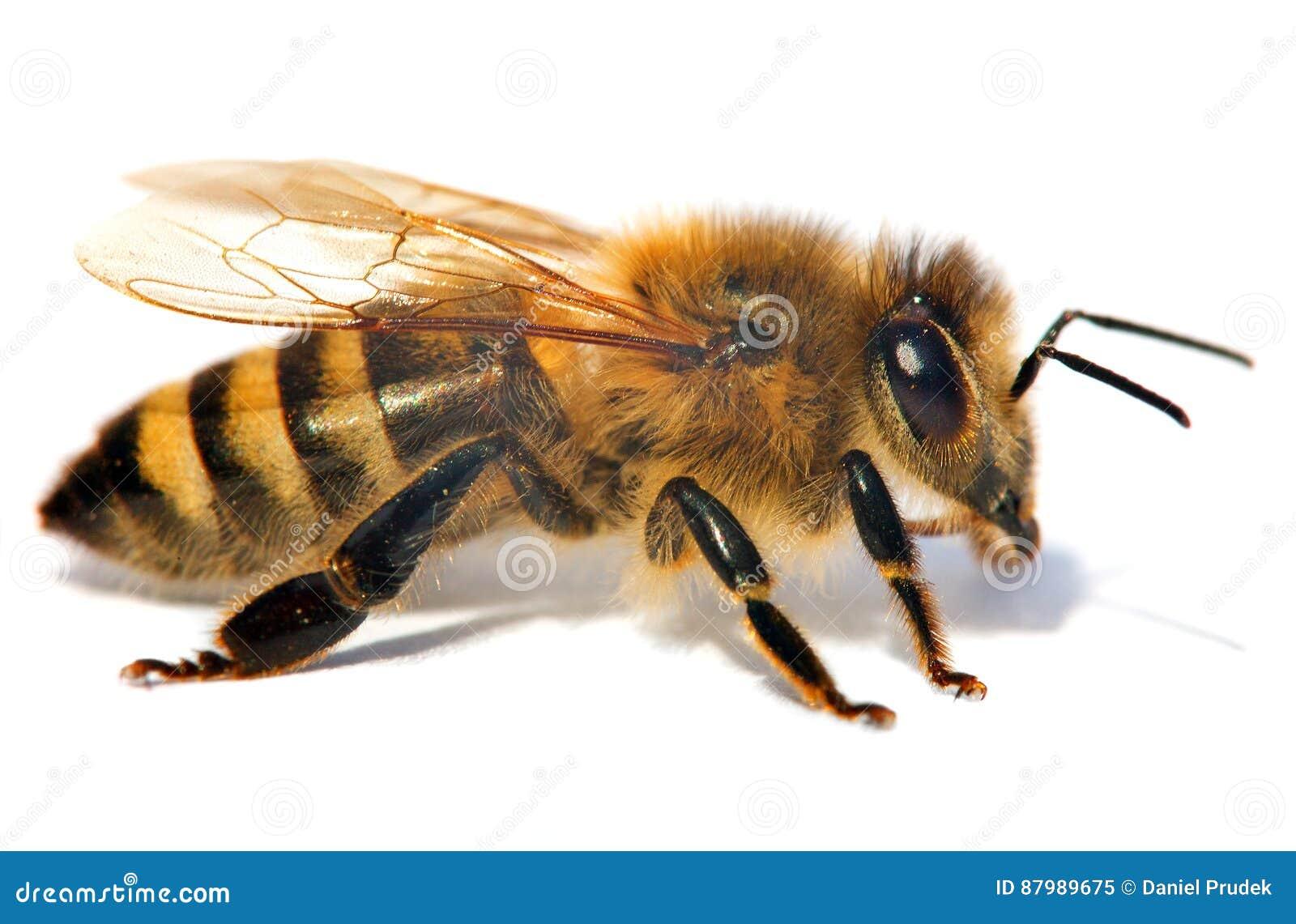 Detalj av biet eller honungsbit, Apis Mellifera