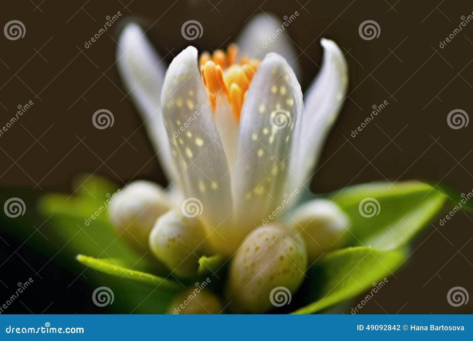 Detalj av den citrusa blomman med knoppar och kronblad